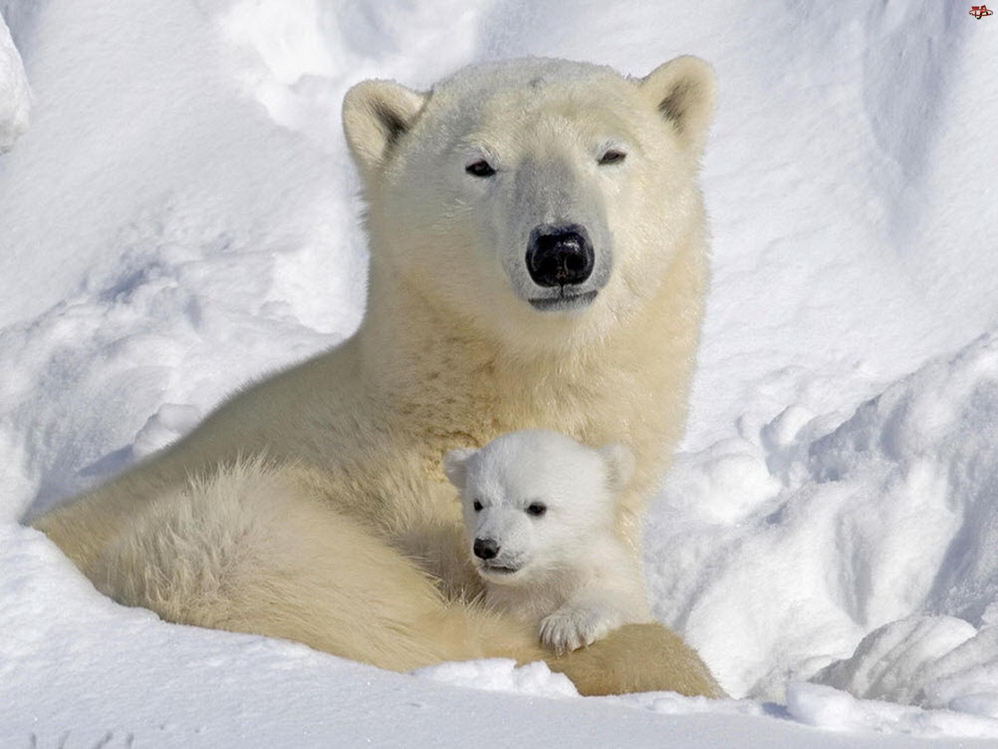 Miś, Śnieg, Polarny, Małe