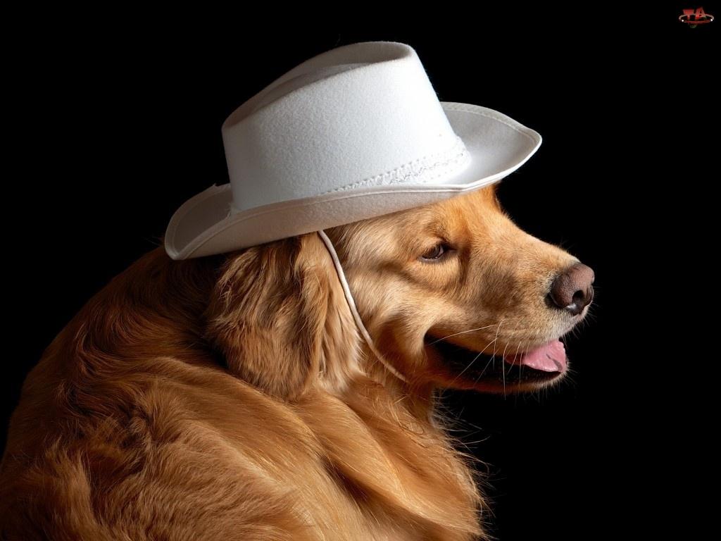 Biały, Golden Retriever, Kapelusz, Pies