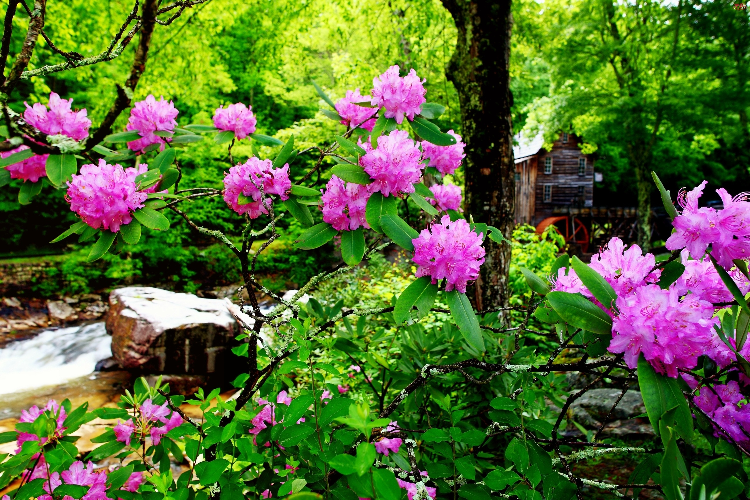 Wodny, Kwitnące, Las, Rododendrony, Młyn, Strumyk