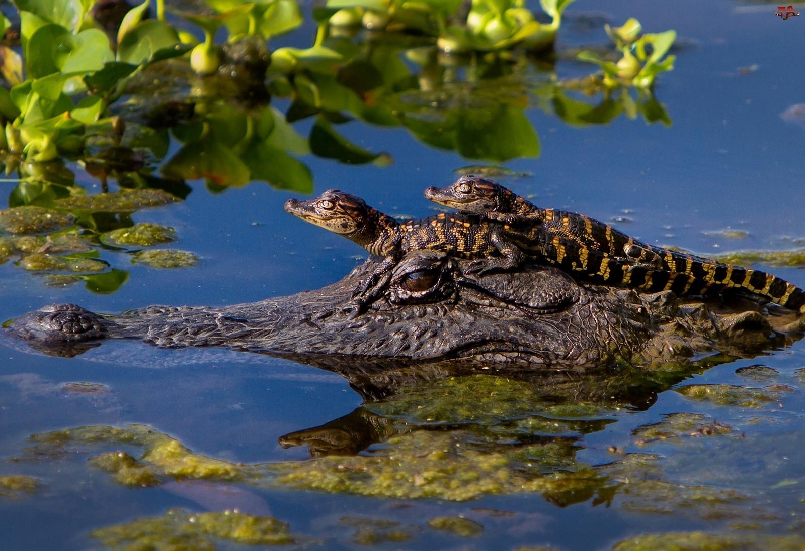 Małe, Krokodylki