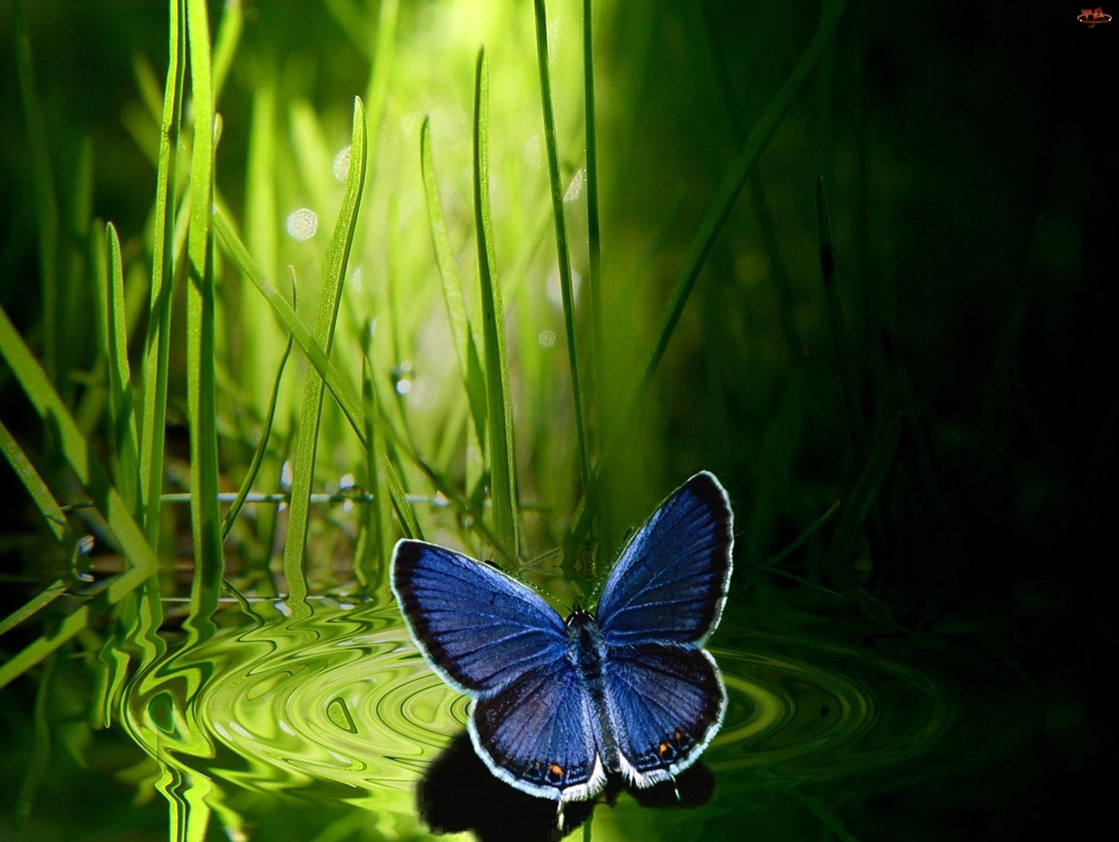 Trawa, Granatowy, Motyl