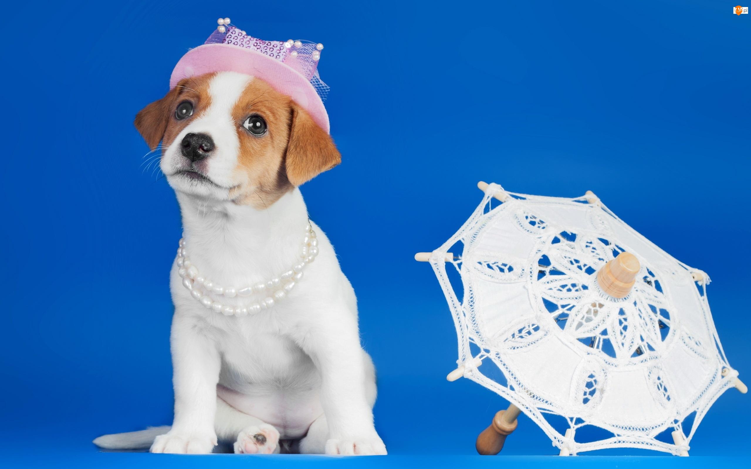 Pies, Parasol, Jack russell terrier, Kapelusz