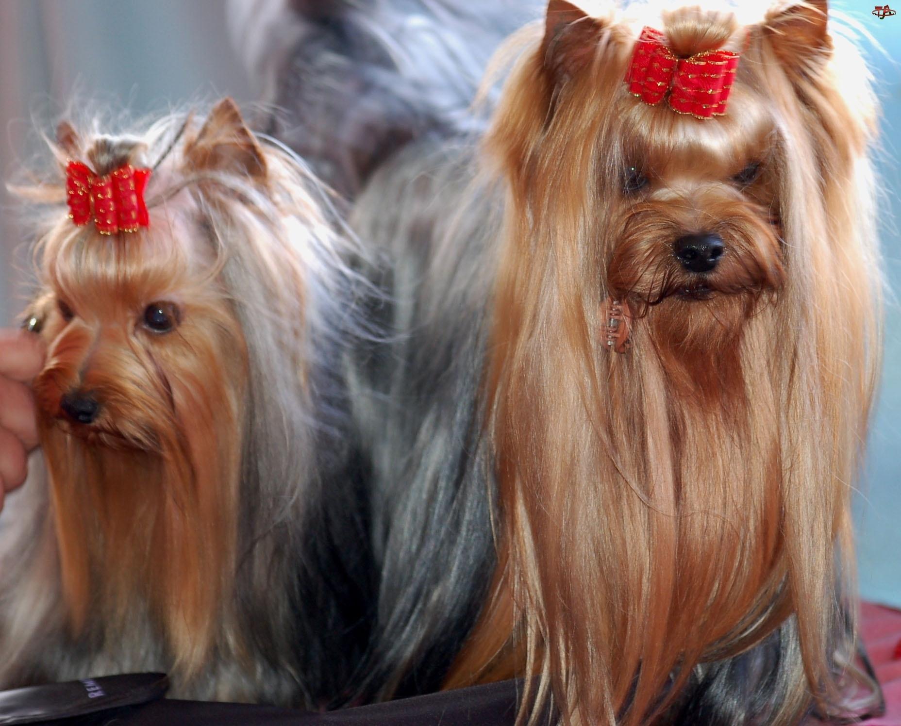dwa, kokardki, Yorkshire Terriery, czerwone