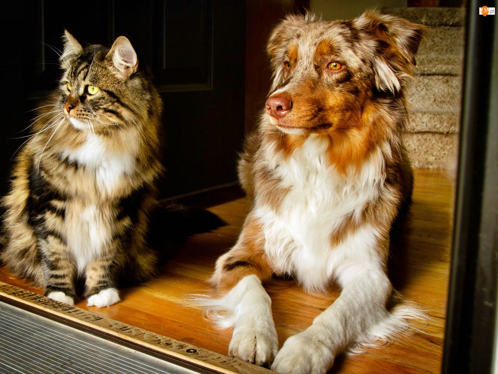 Kot, Australian shepherd, Pies, Owczarek australijski