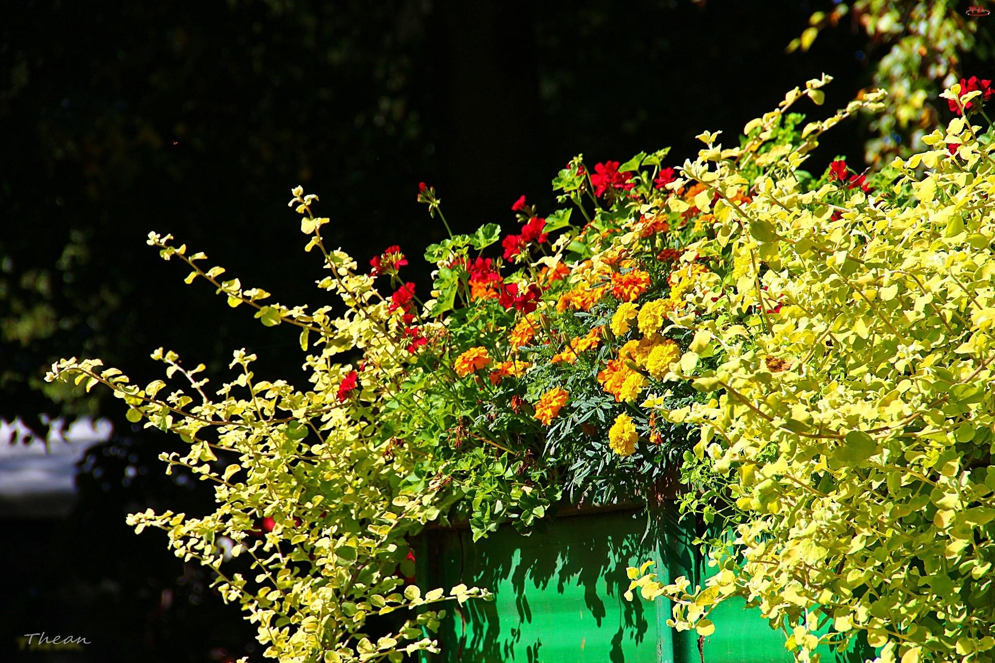 Pelargonie, Kwiaty, Aksamitki