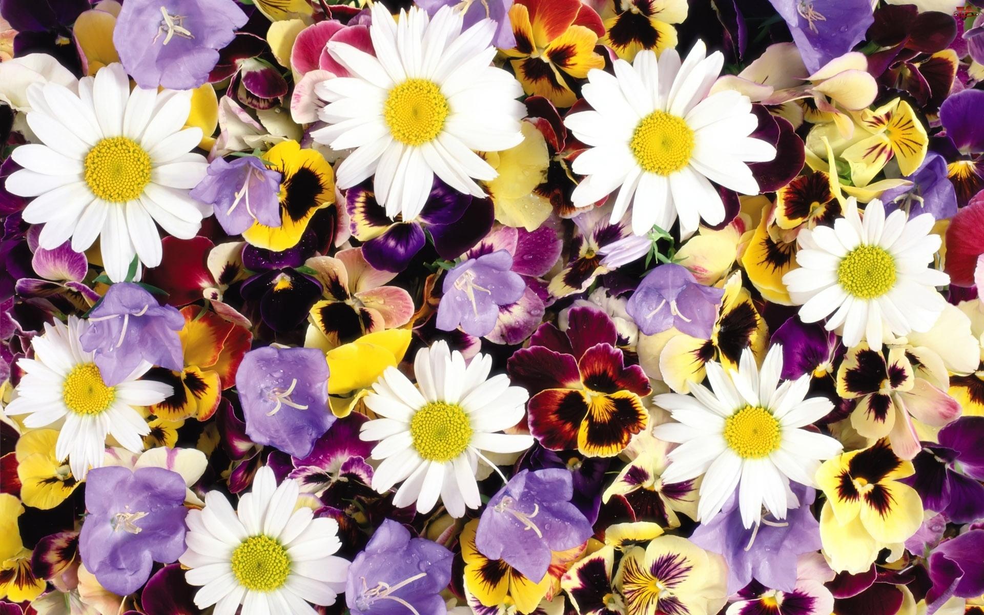 Kwiatki, Rumianek, Różne,  , Kolorowe, Bratki