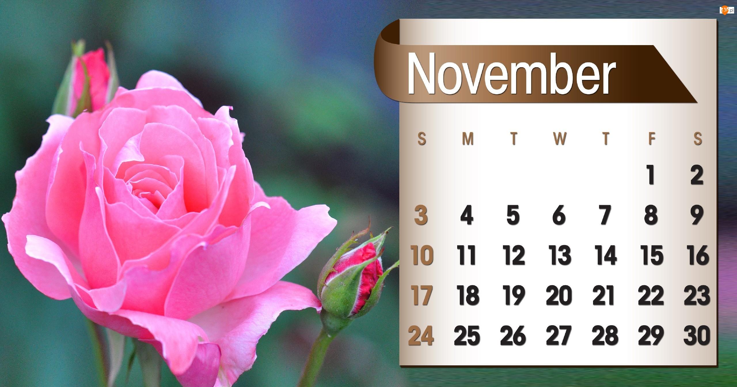 Kalendarz, 2013r, Róża, Listopad