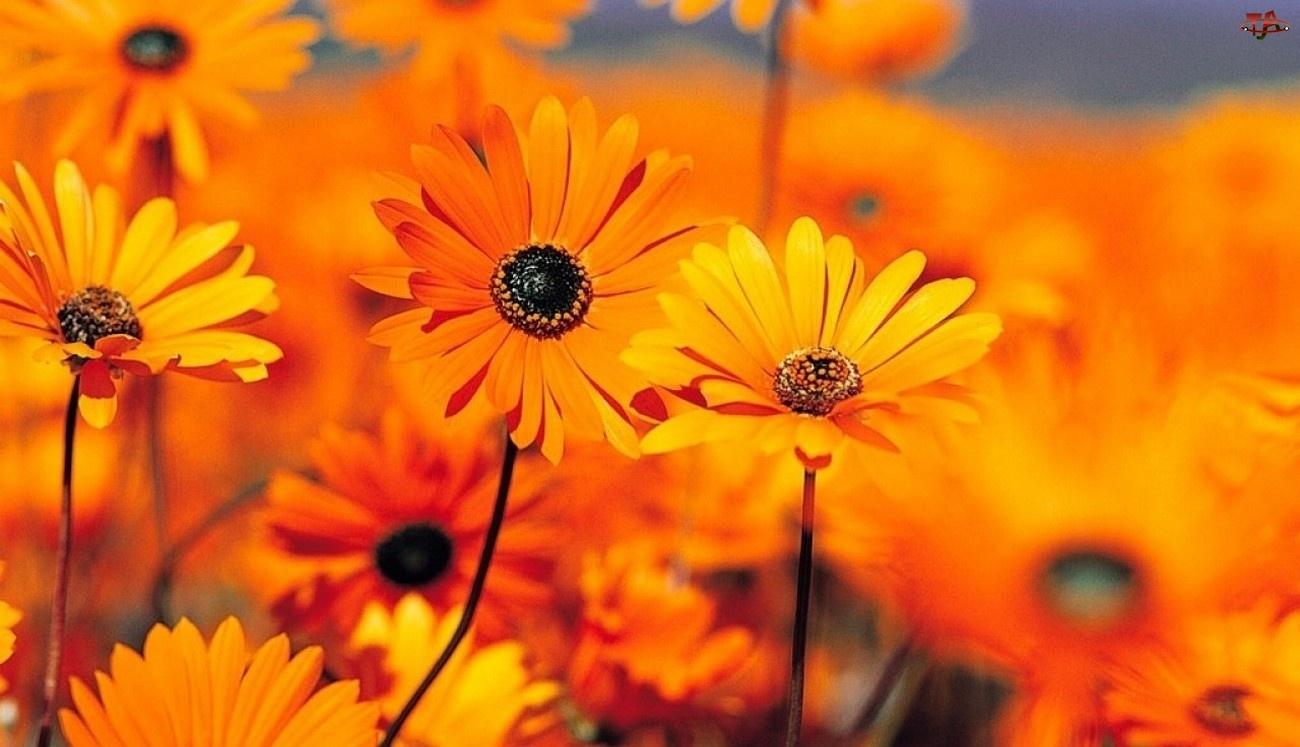 Arcotis, Pomarańczowe, Kwiaty