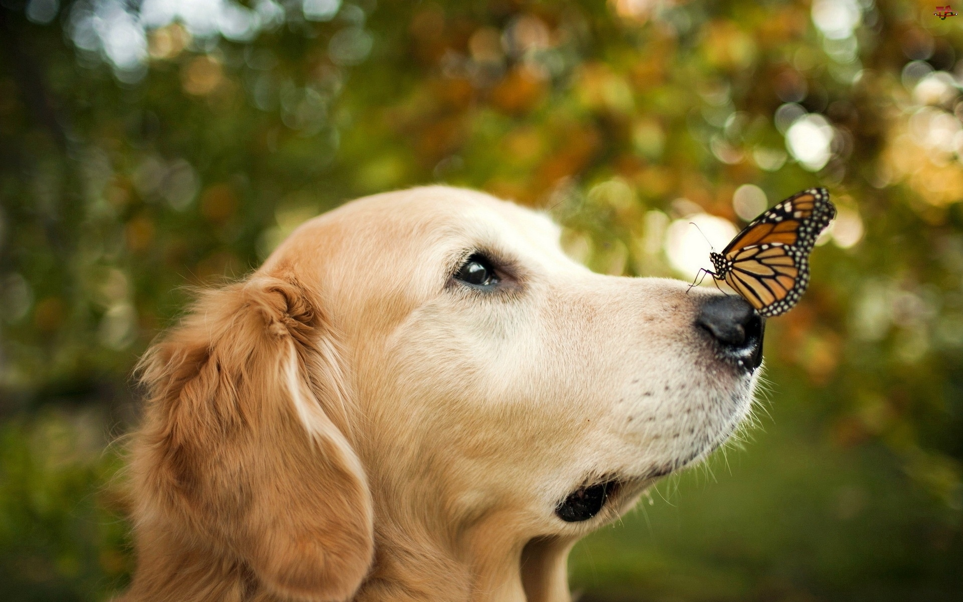 Motyl, Golden retriever, Pies