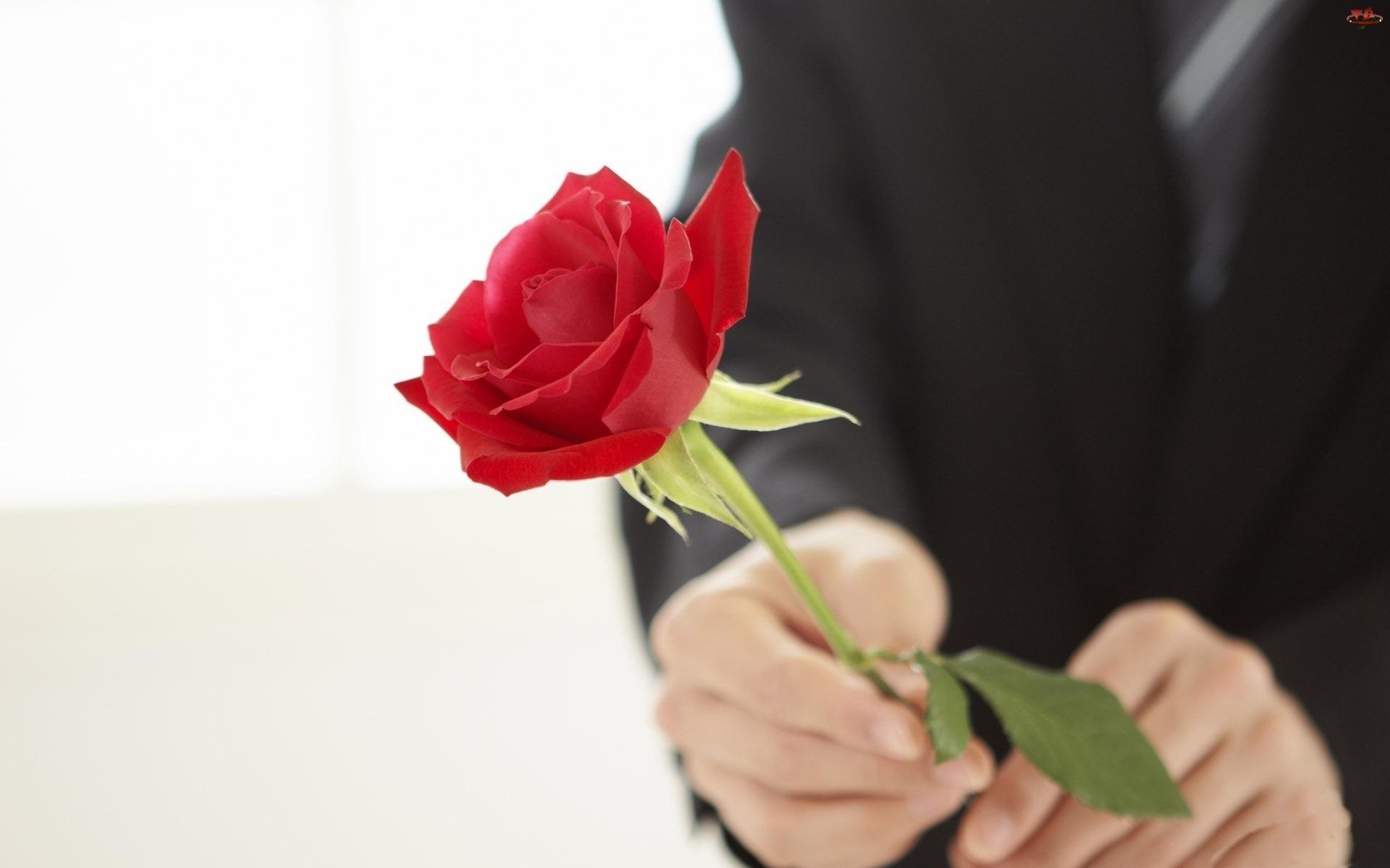 Dłonie, Czerwona, Róża