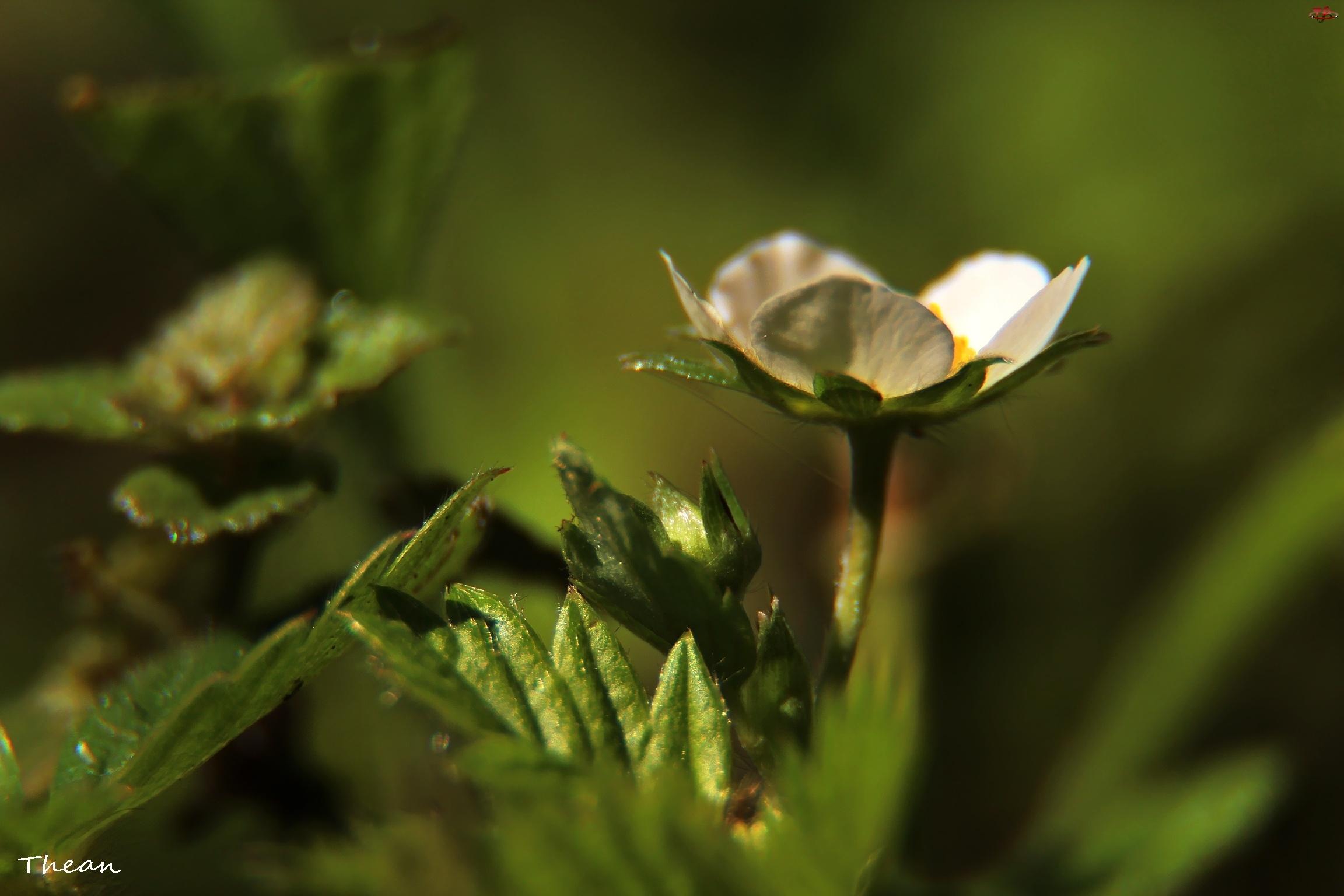 Biały, Kwiat, Poziomki