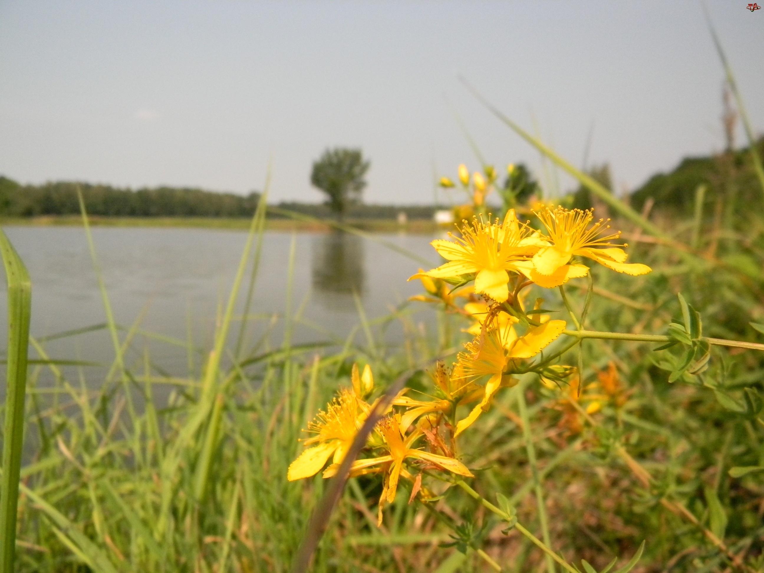 Jezioro, Kwiaty, Dziurawca