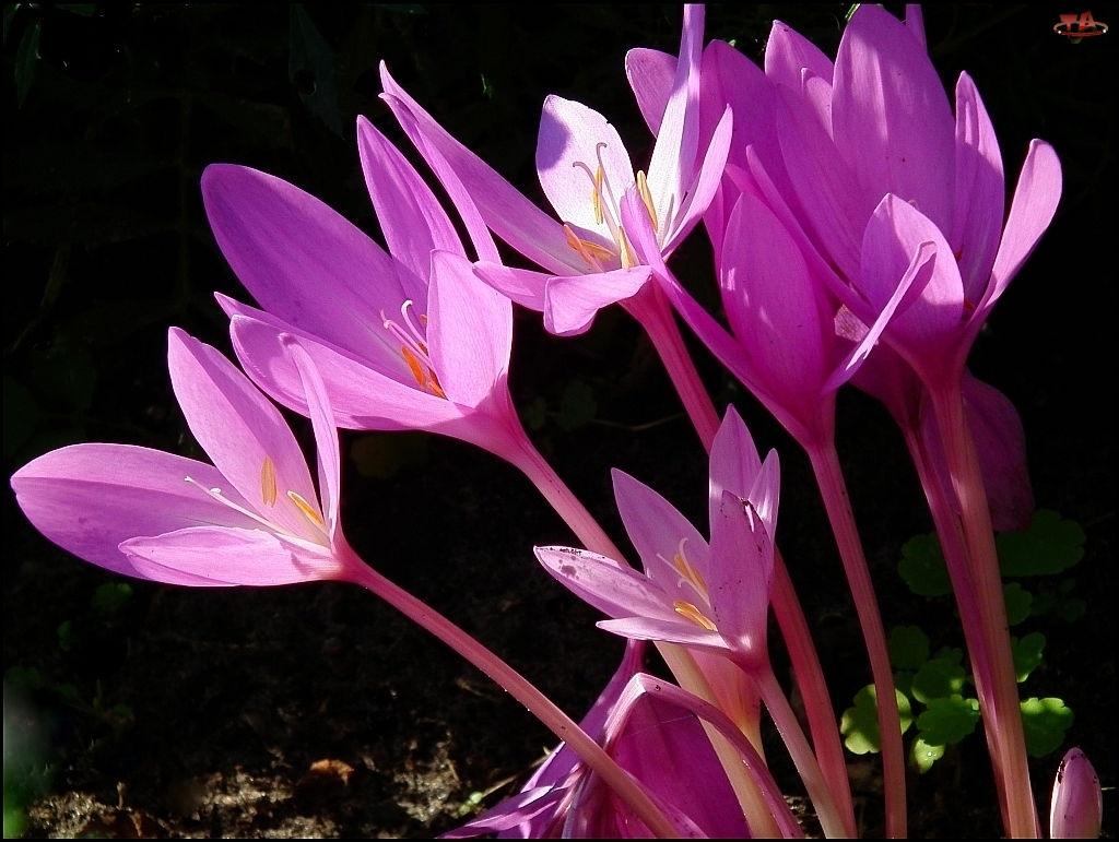 Kwiat, Ziemowit