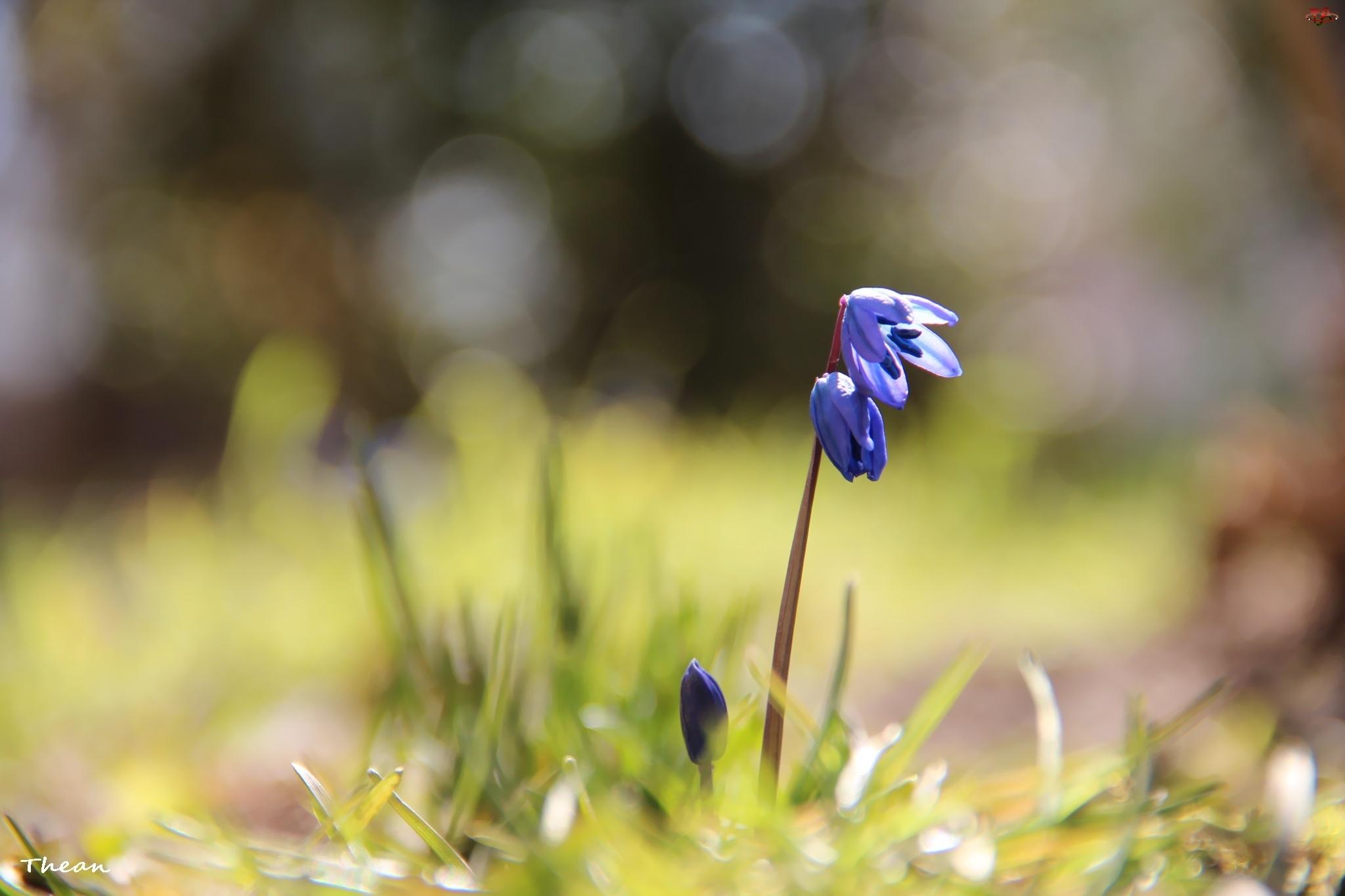 Kwiat, Cebulica Syberyjska