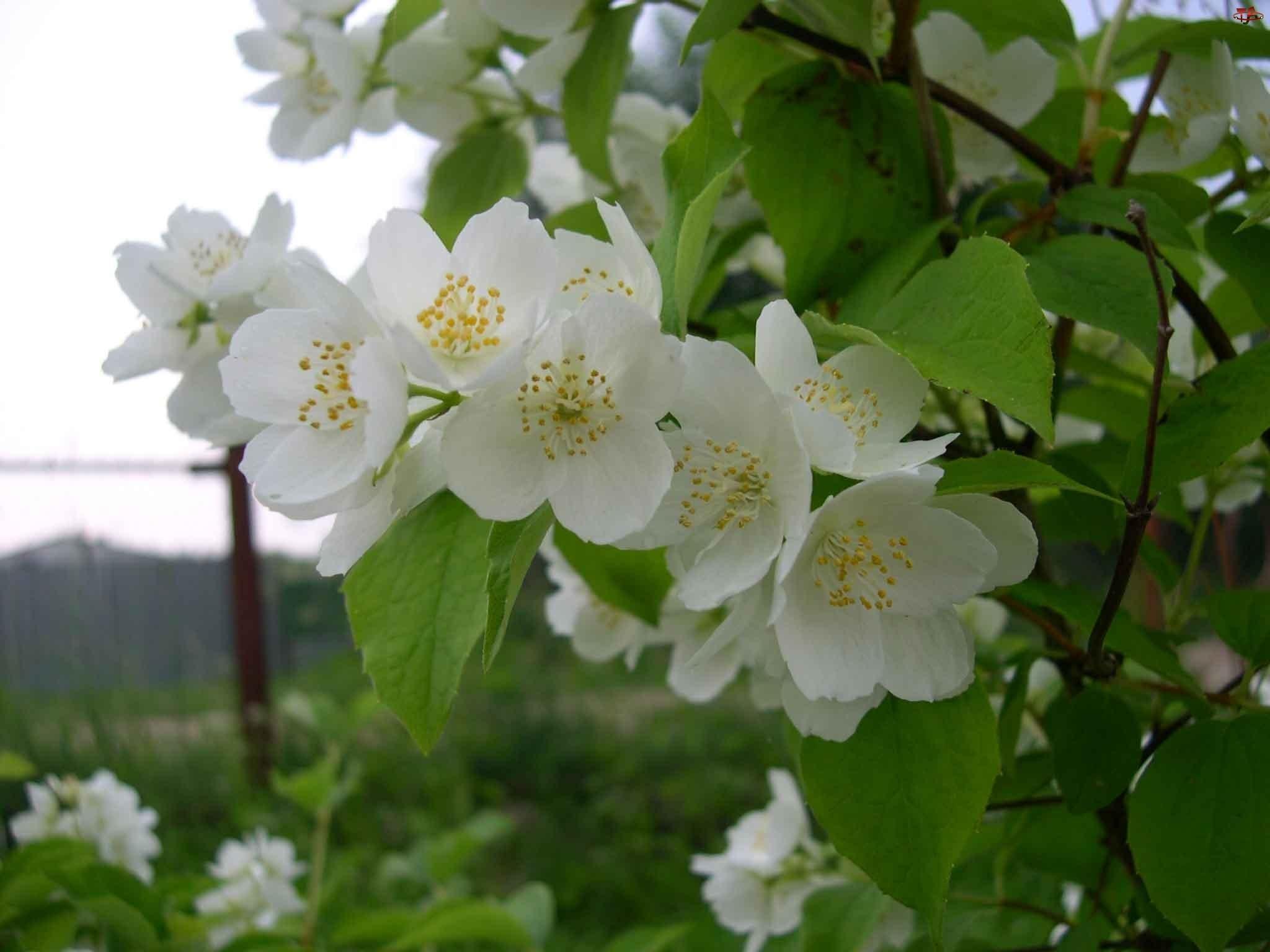 Kwiaty, Krzew, Jaśminu