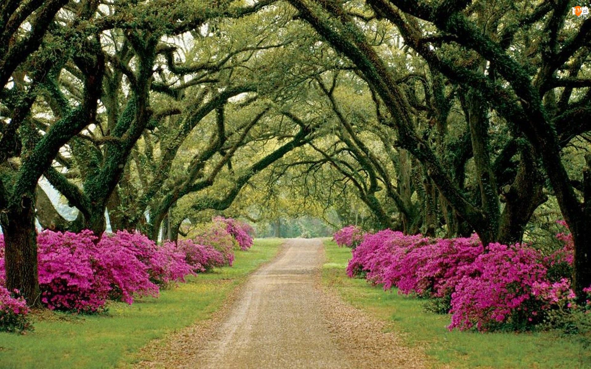 Park, Rododendrony, Aleja, Kwitnące