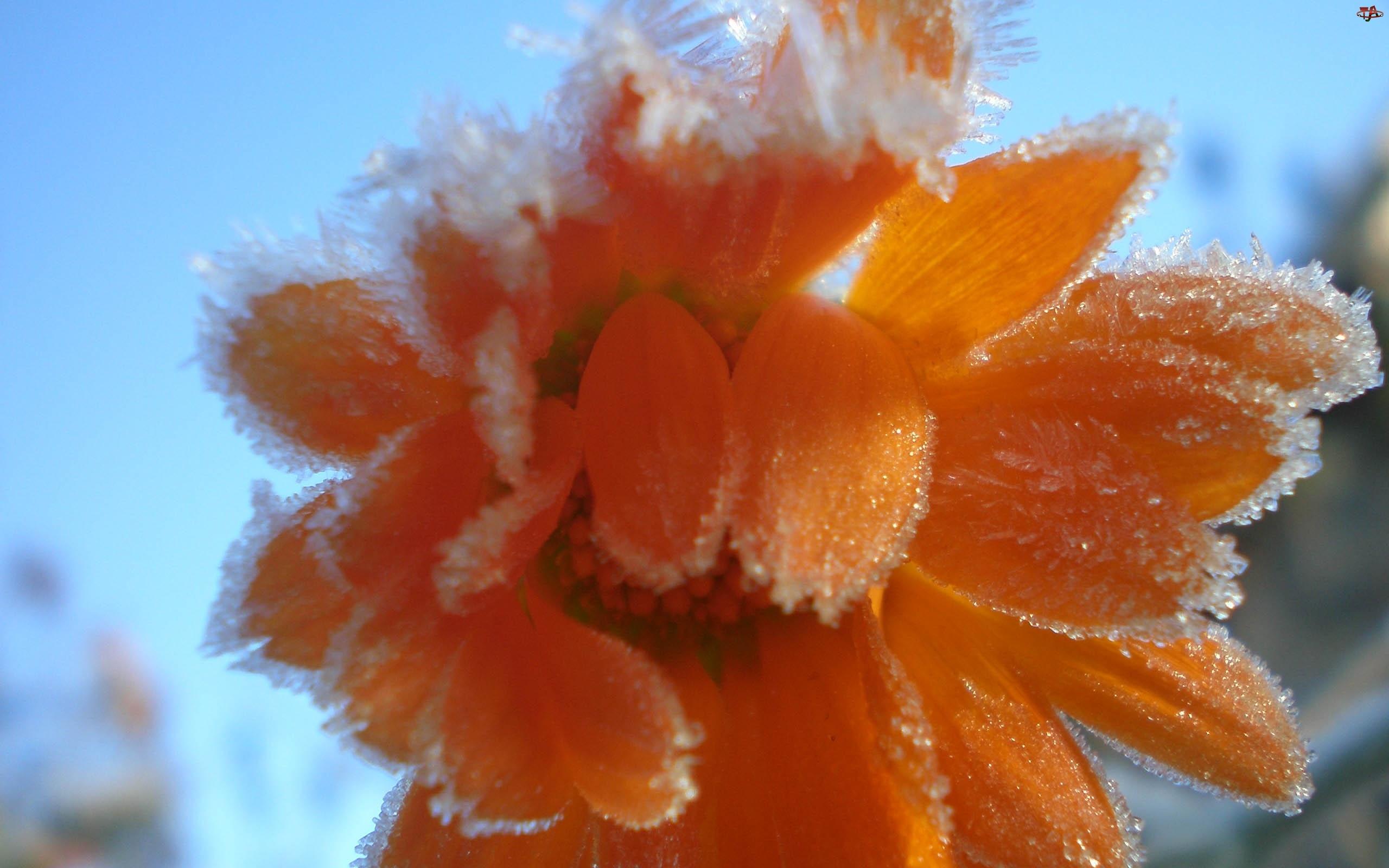 Kwiat, Zamrożony, Pomarańczowy