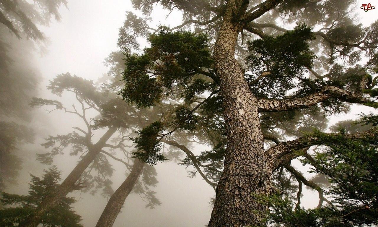 Drzewa, Mgła, Sosny, Poranek