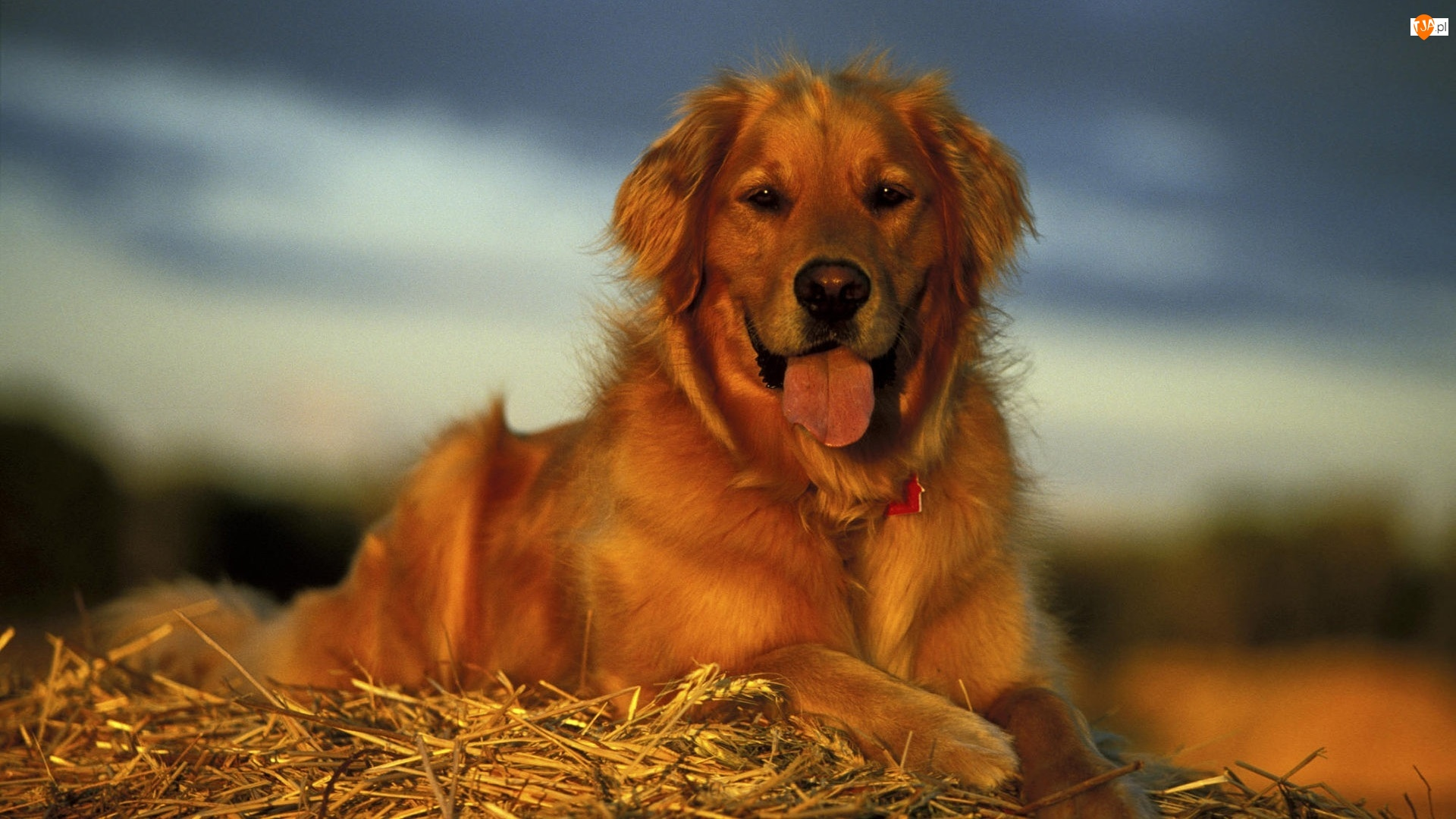 Słoma, Pies, Golden retriever, Język