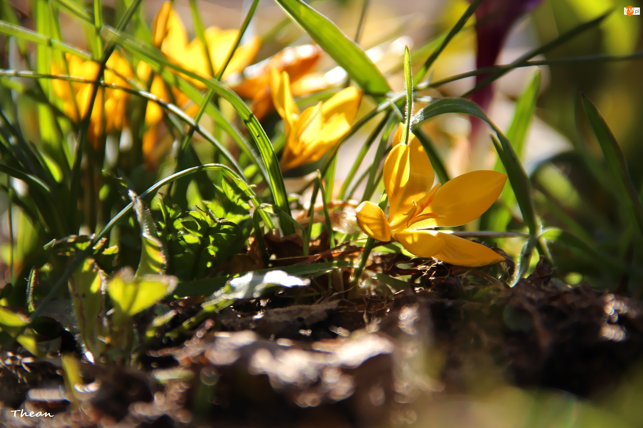 Trawa, Żółte, Krokusy