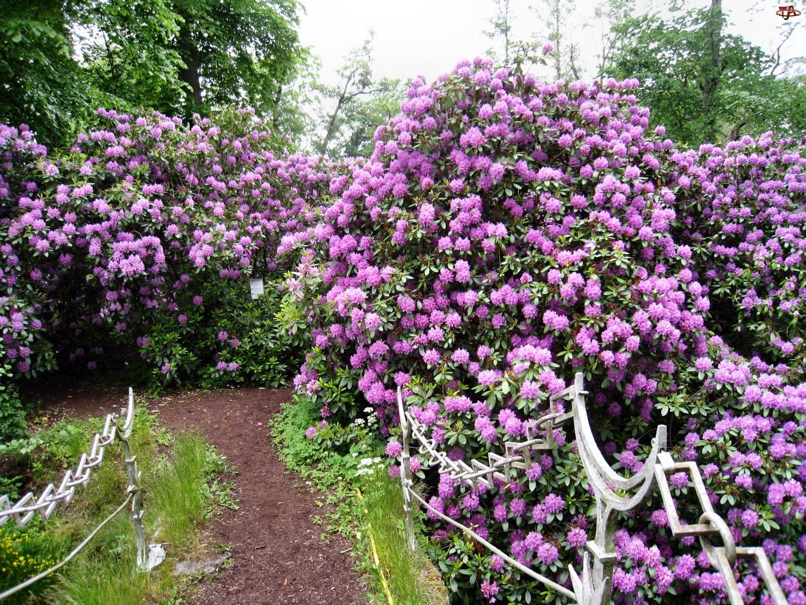 Fioletowe, Poręcz, Rododendrony, Ozdobna