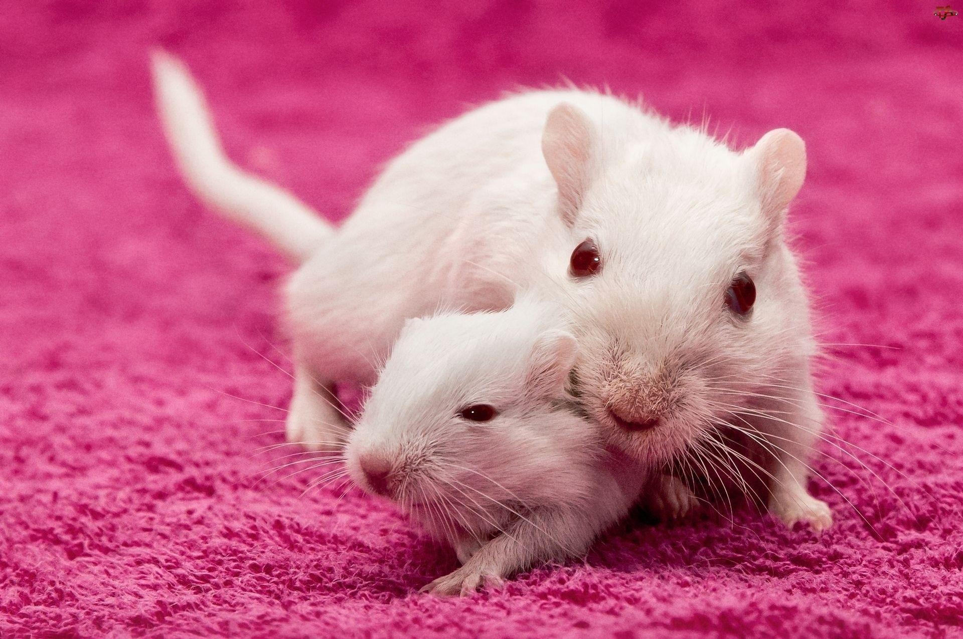 Dwa, Szczurki