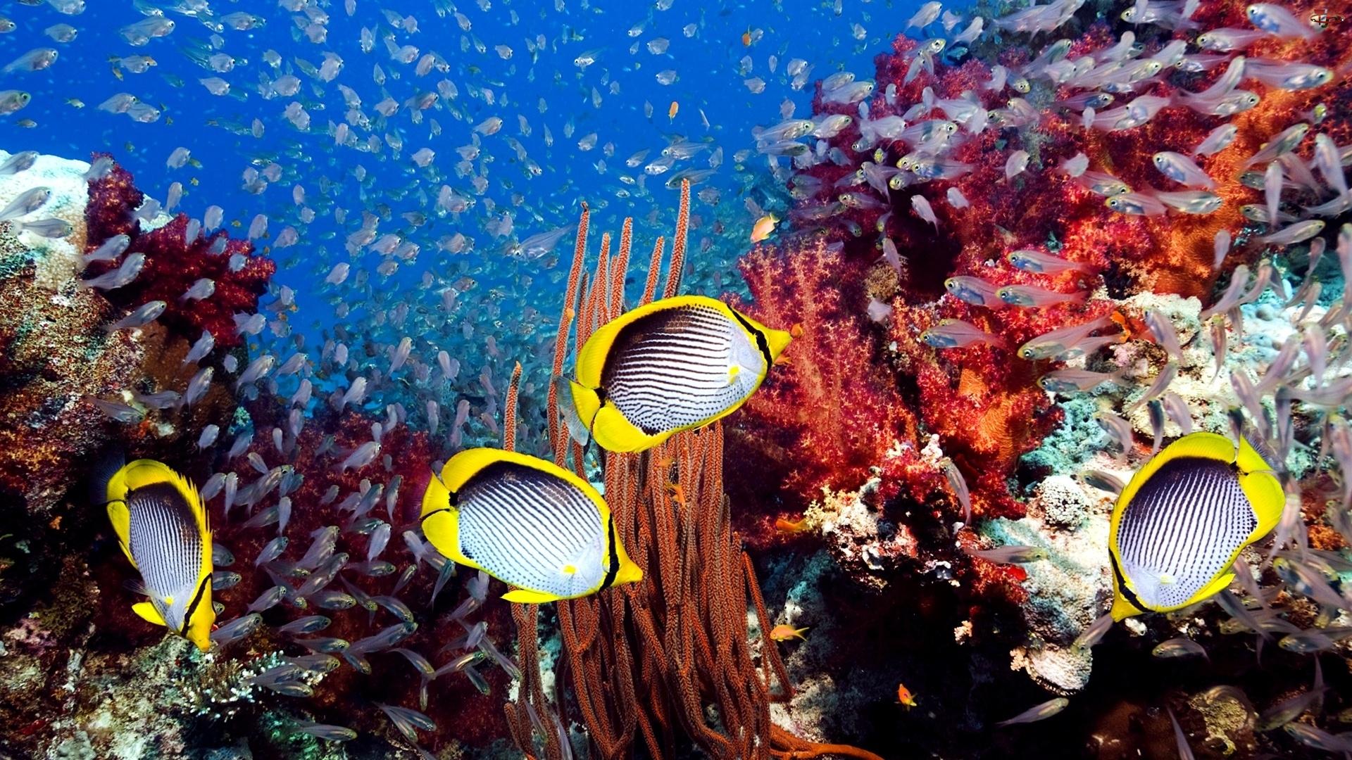 Koralowa, Ryby, Rafa