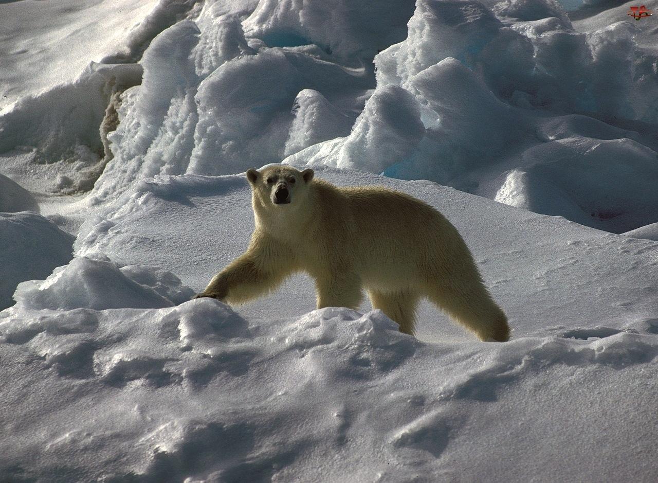 Śnieg, Niedźwiedź, Polarny