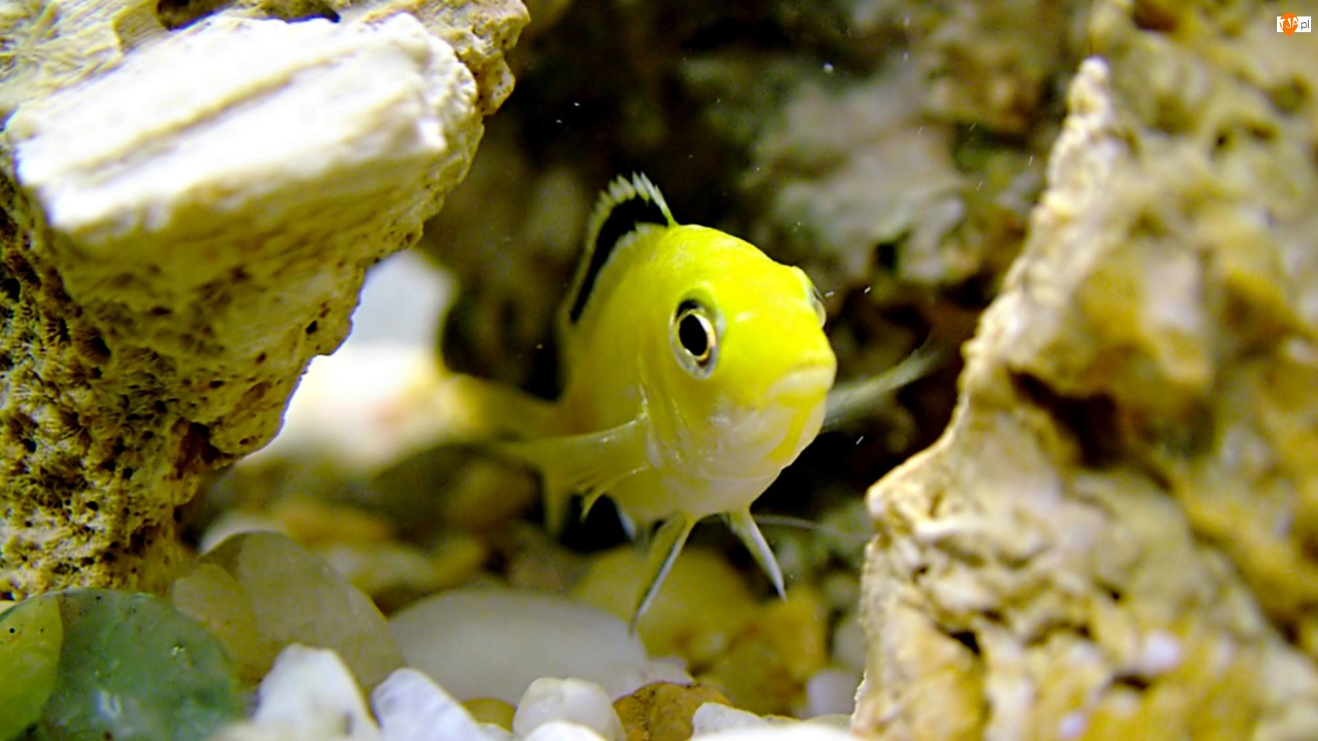 Rybka, Akwarium, Żółta