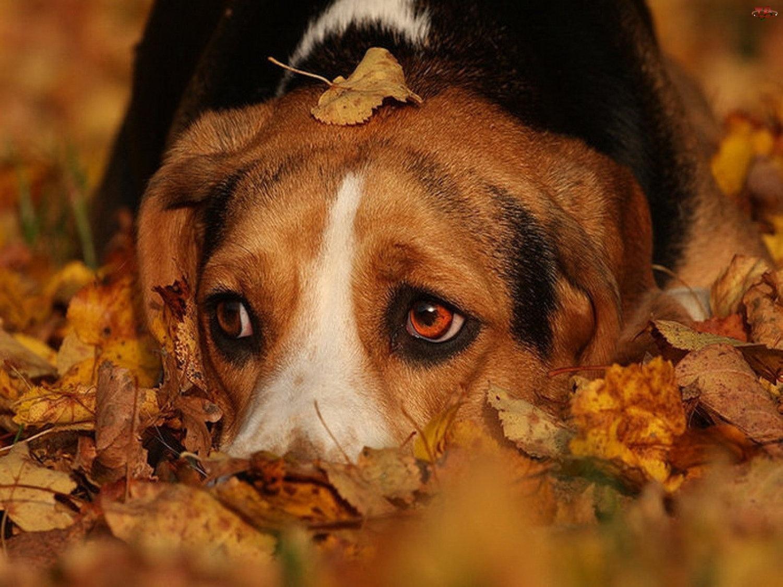 Pies, Beagle, Jesienne, Liście