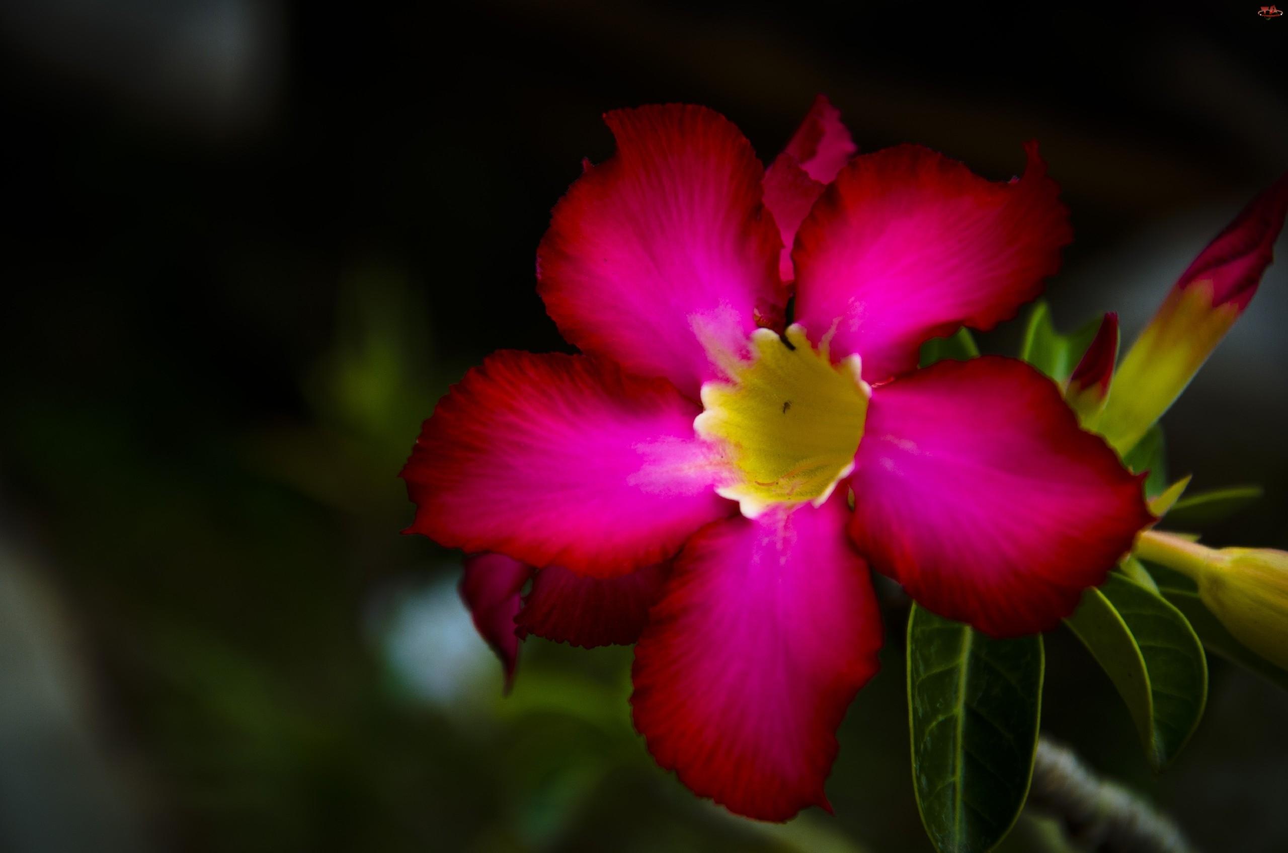 Różowy, Kwiatek