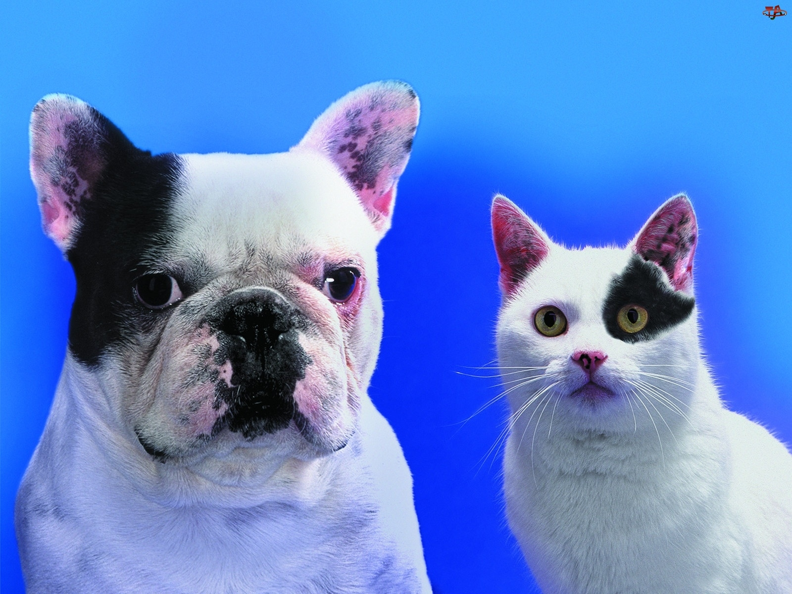 Kot, Buldog francuski, Czarne, Łaty