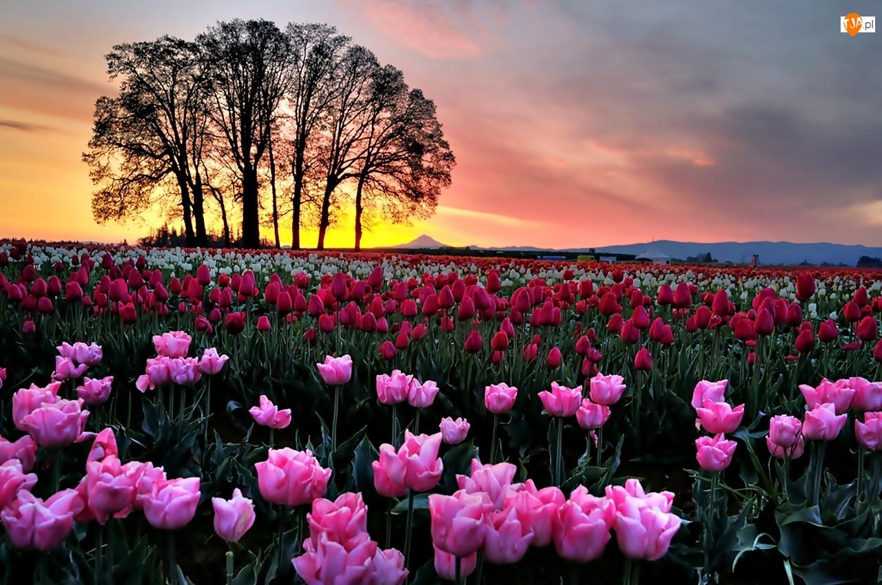 Drzewa, Kolorowych, Zachód, Tulipanów, Słońca, Pole