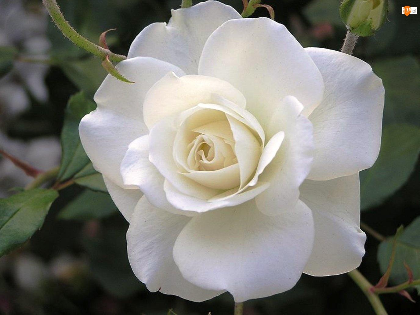 Biała, Róża