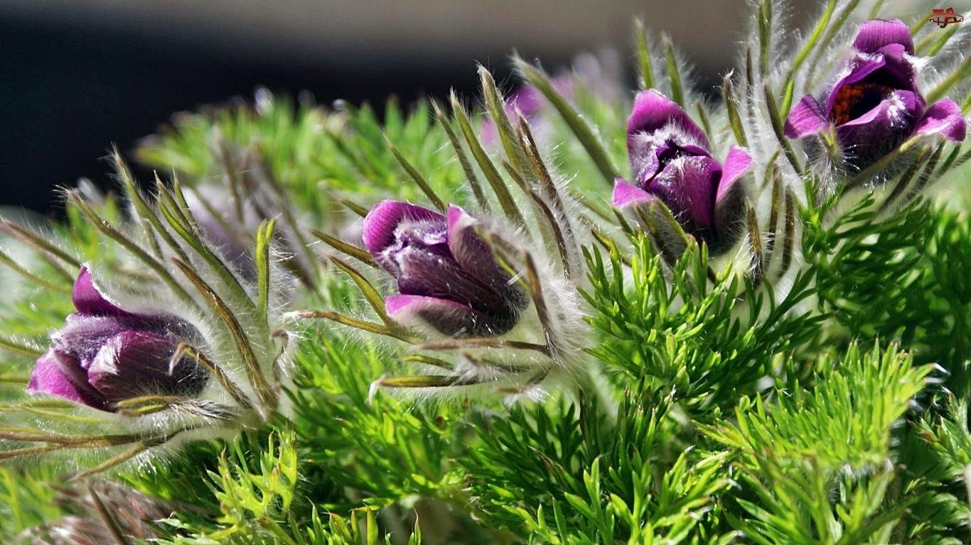 Kwiaty, Sasanki