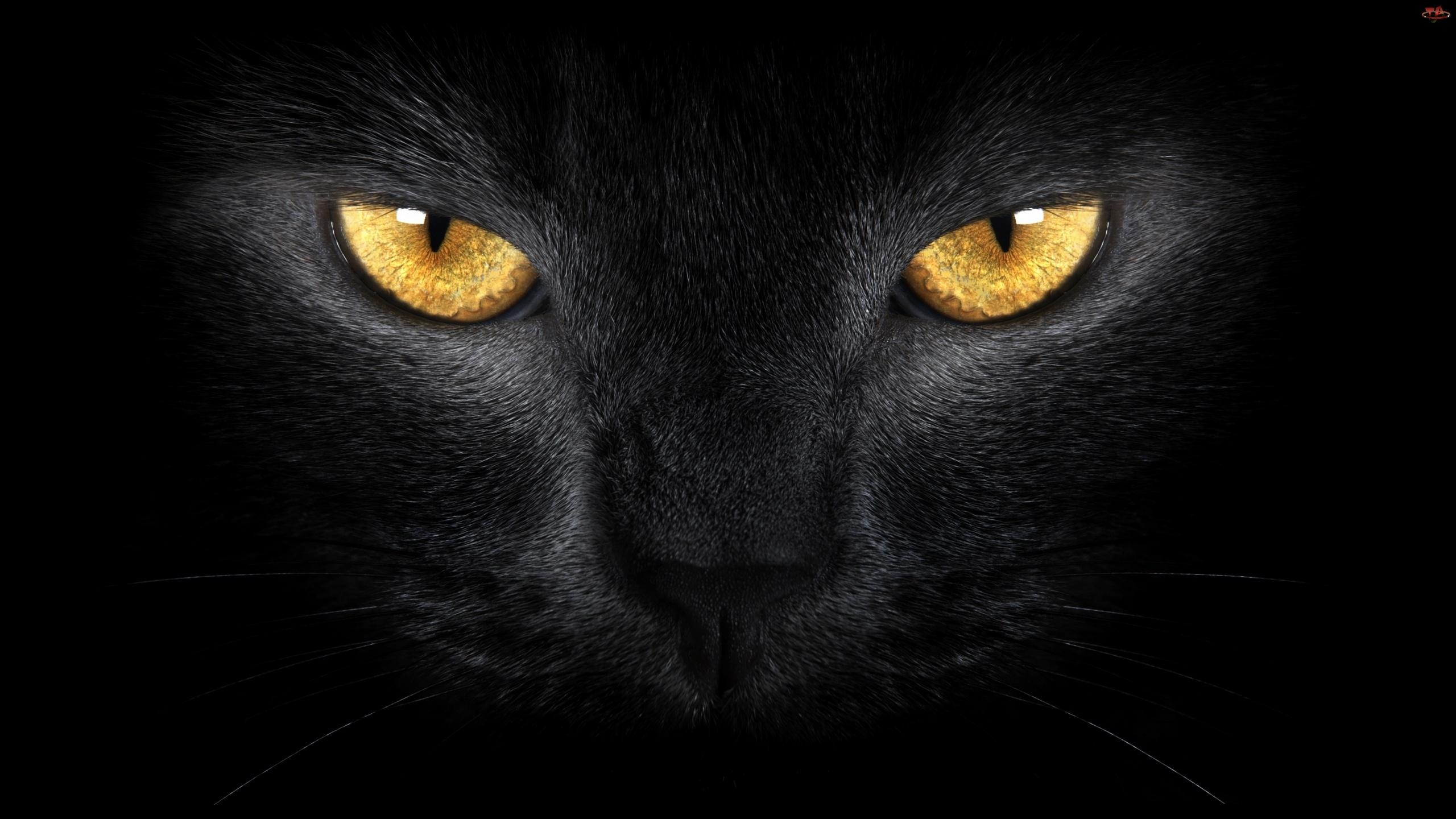 Czarny, Oczy, Kot, Złote