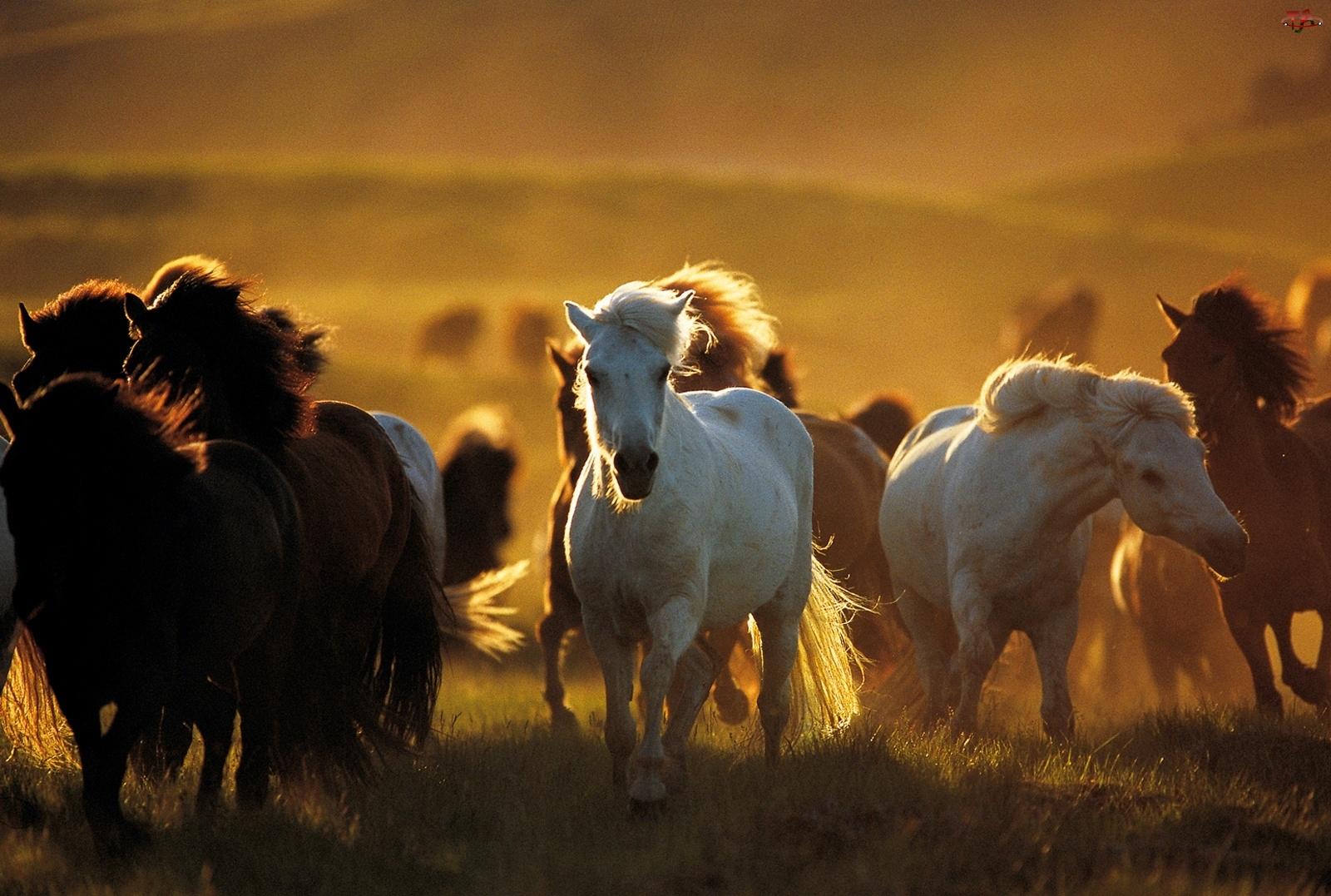Konie, Stado
