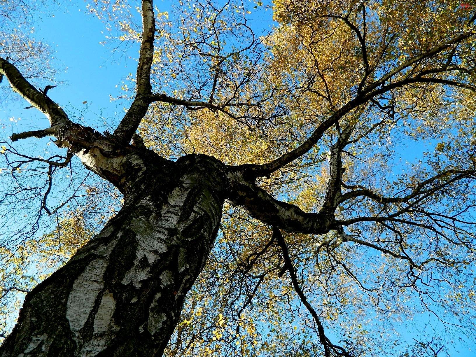 Nieba, Jesień, Liście, Brzoza, Błękit