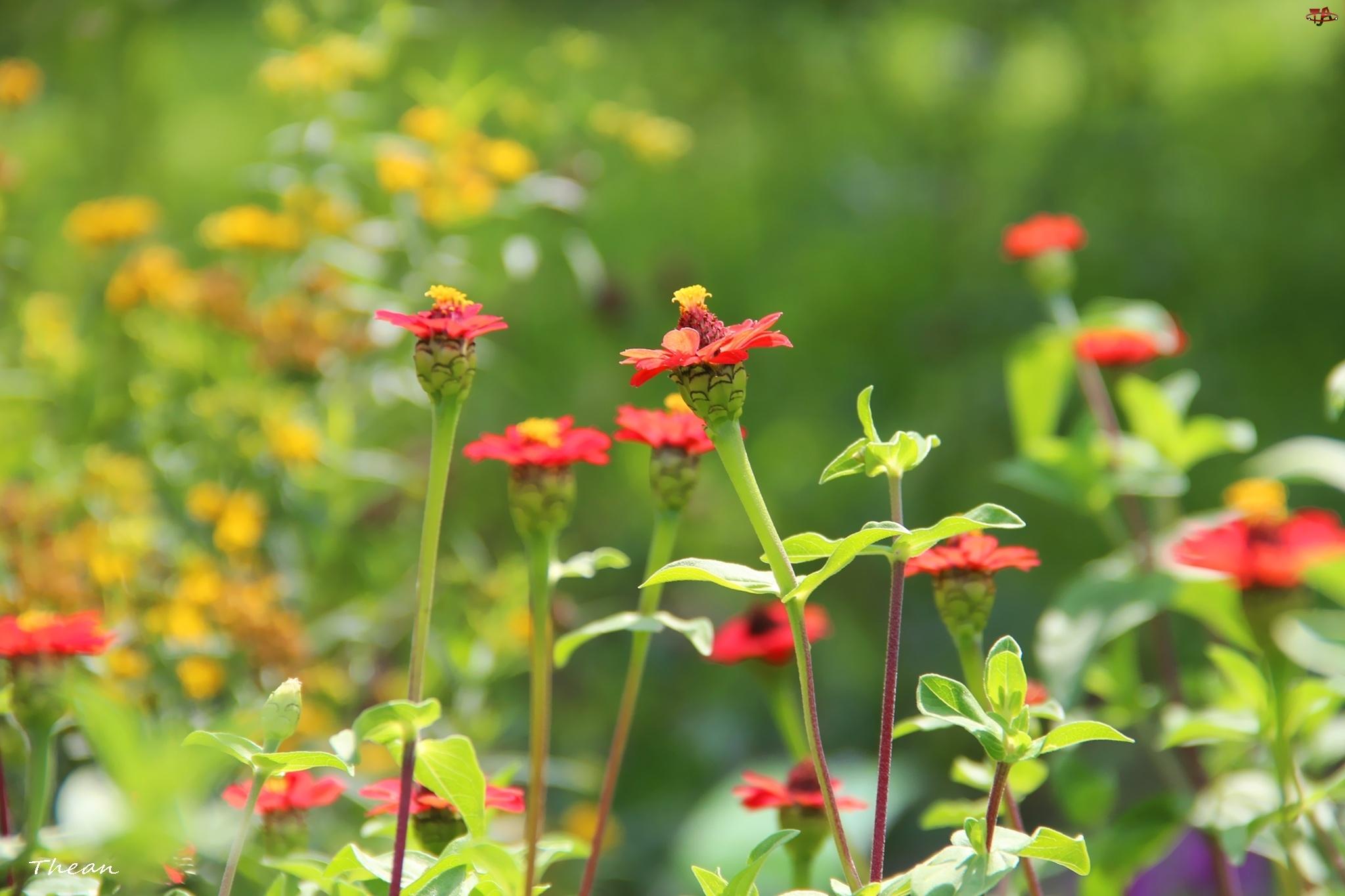 Kwiatuszki, Małe, Czerwone