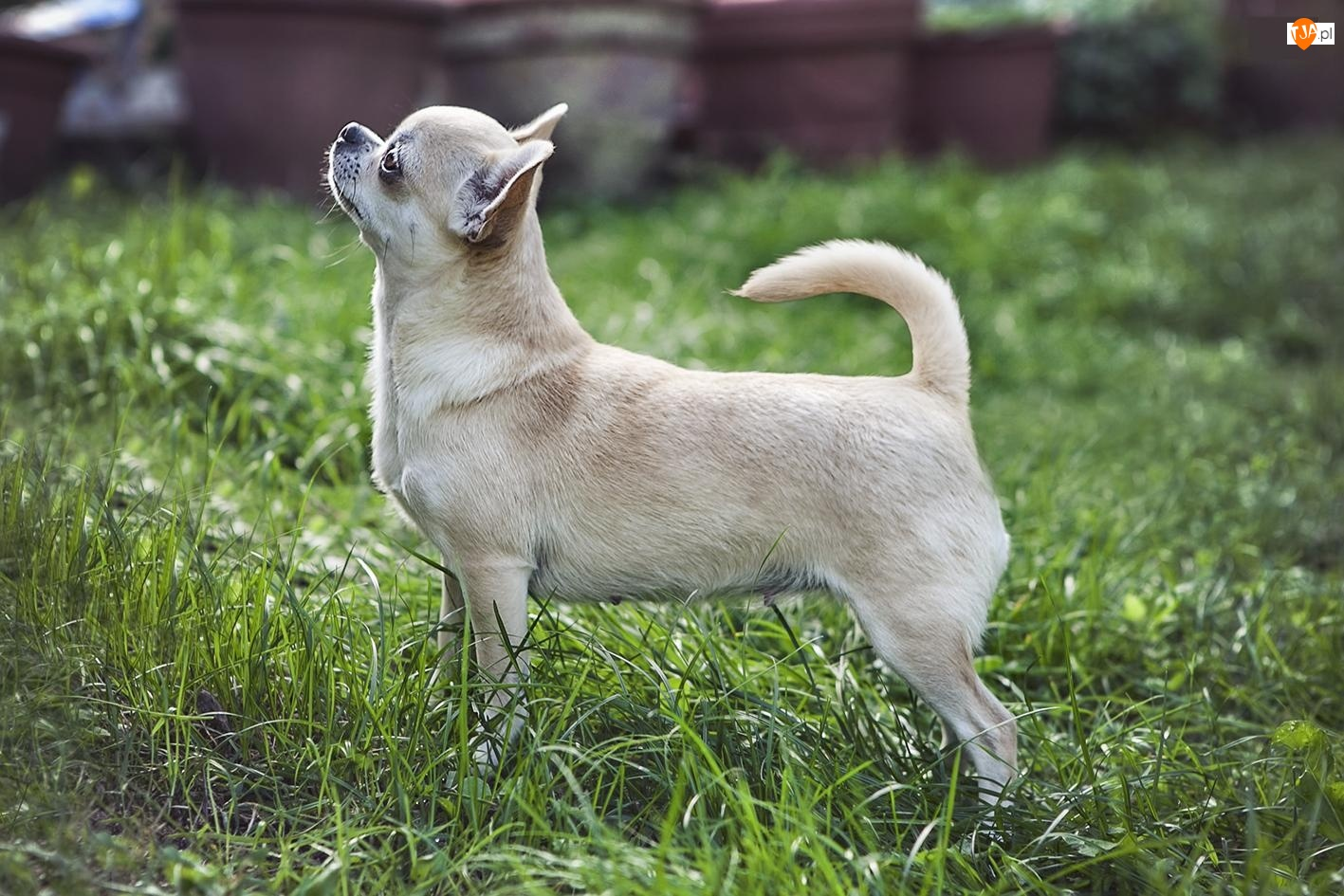 Trawa, Piesek, Chihuahua