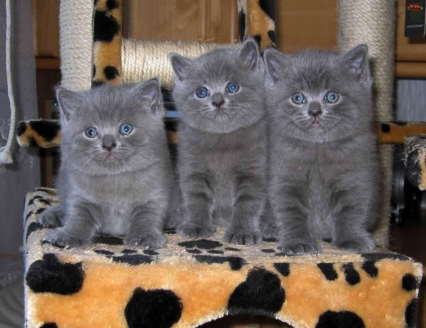 Kociaki, Trzy, Szare