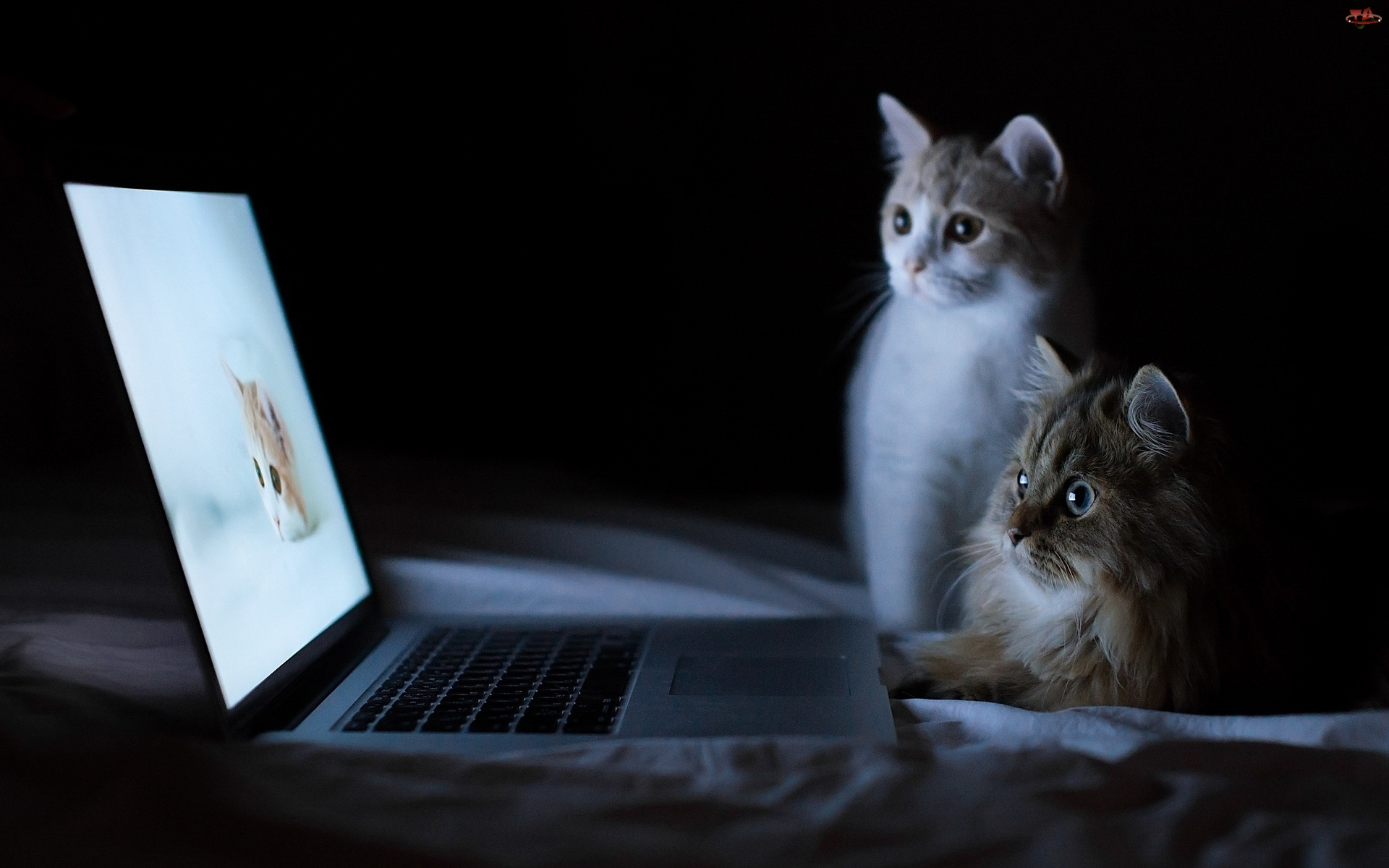 Dwa, Laptop, Słodkie, Kotki