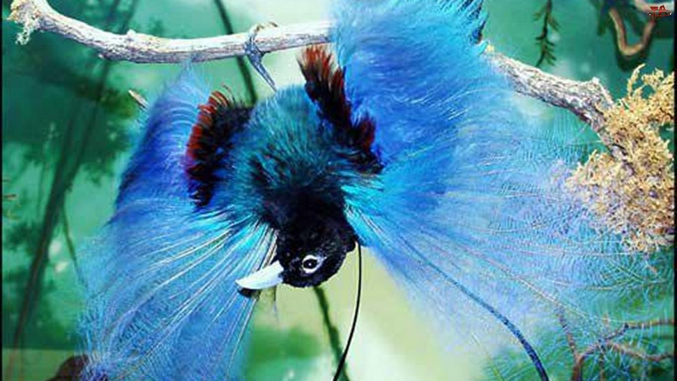 Zwisa, Ptak, Niebieski