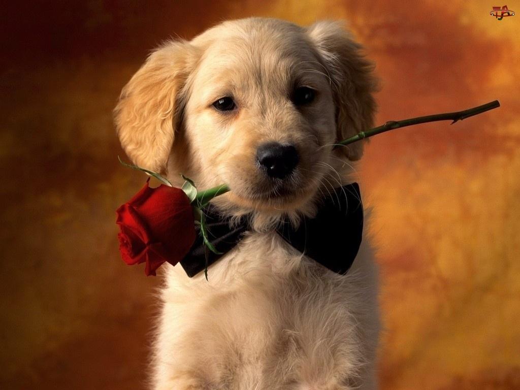 Labrador Retriever, Piesek, Różyczka