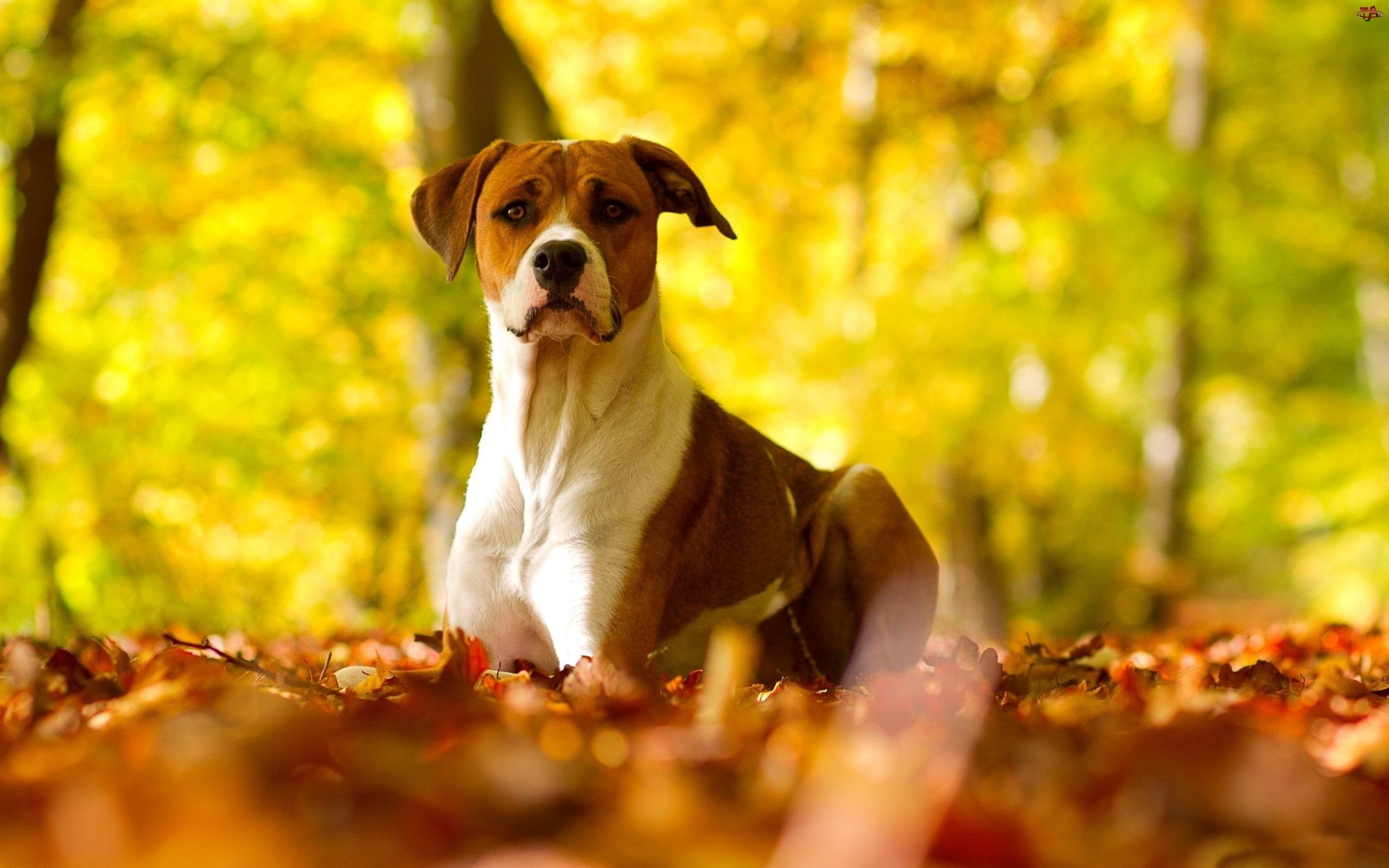 Liście, Pit Bull Terrier, Jesienne