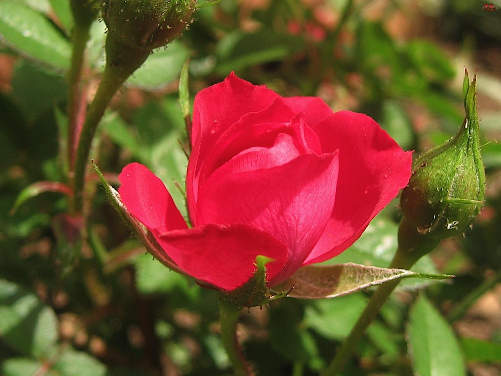 Czerwona, Róża
