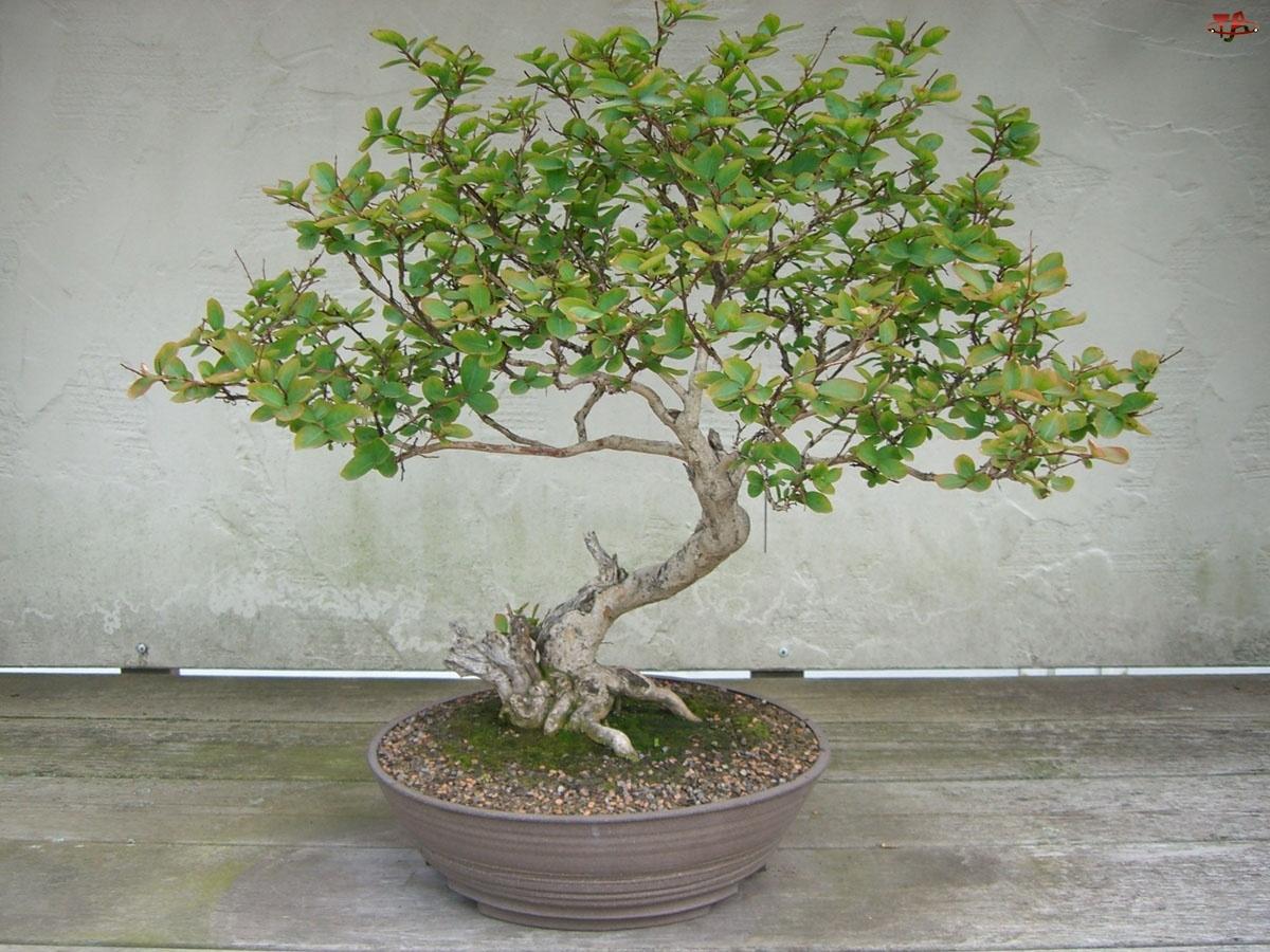 Drzewko, Bonsai