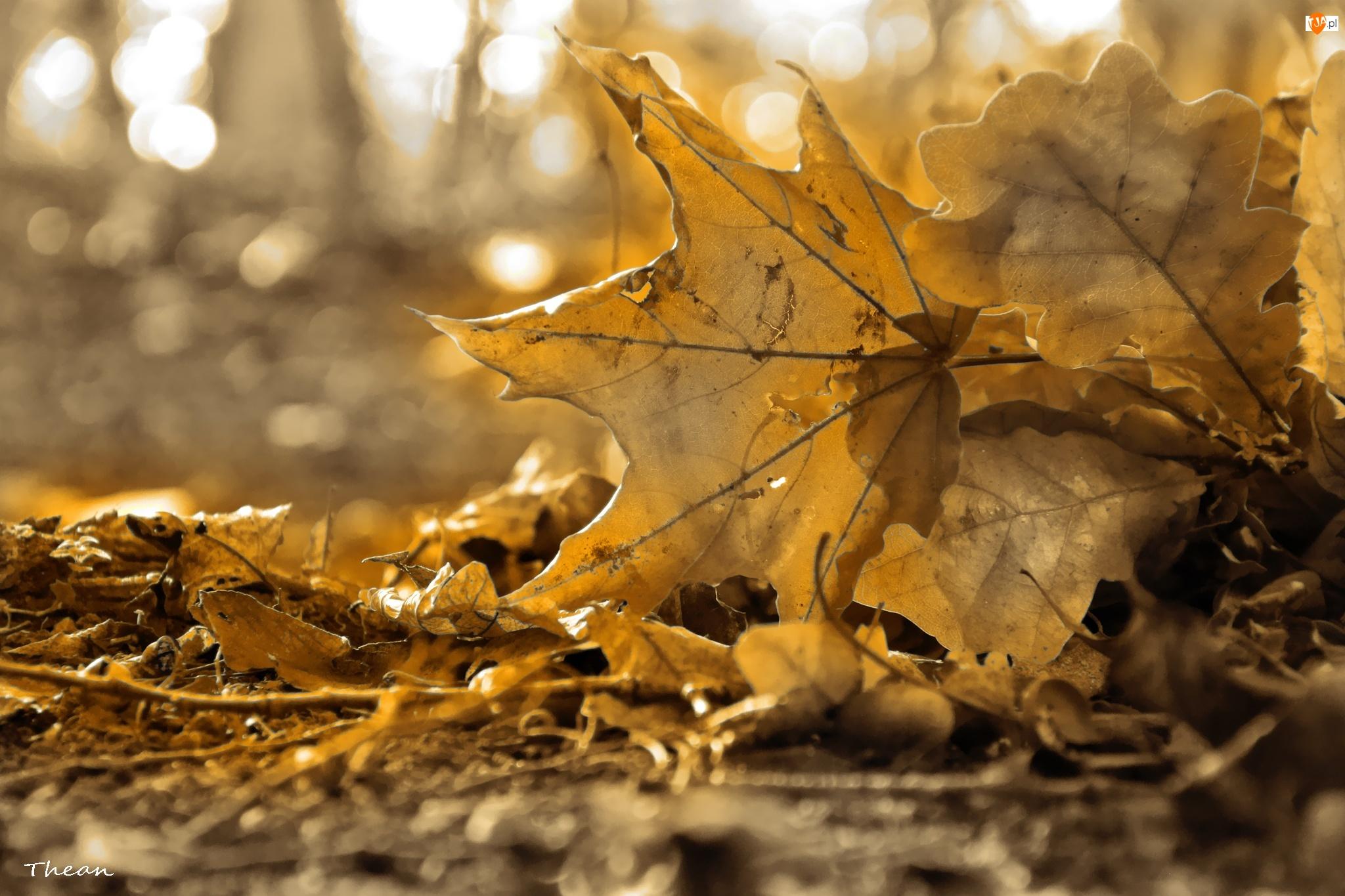 Jesień, Sepia, Suche, Liście