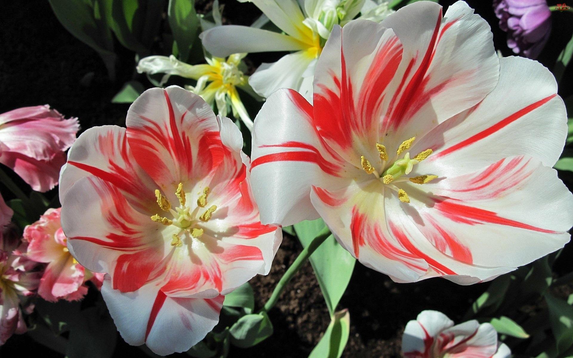 Rozkwitnięte, Tulipany