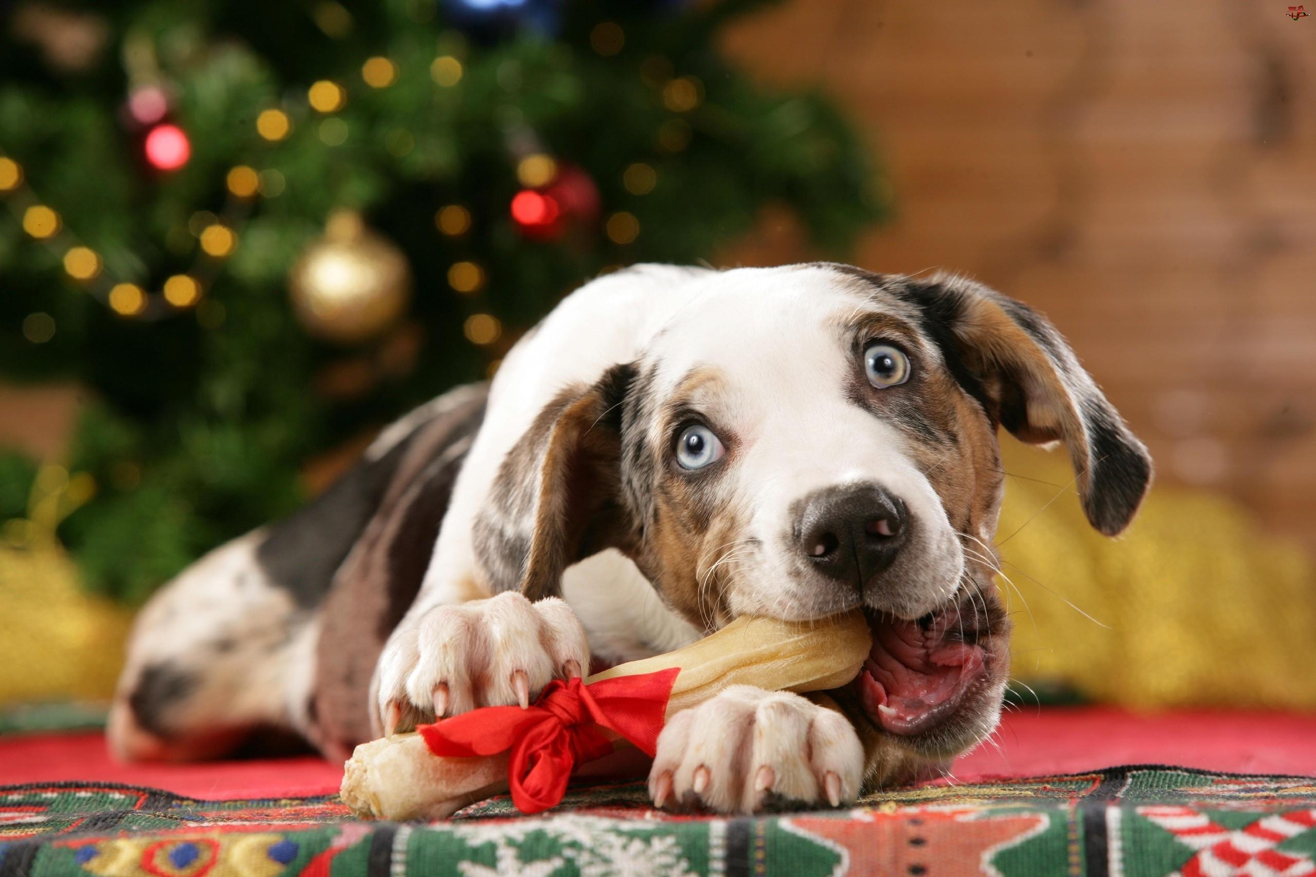 Pies, Australijski pies pasterski, Kość, Choinka